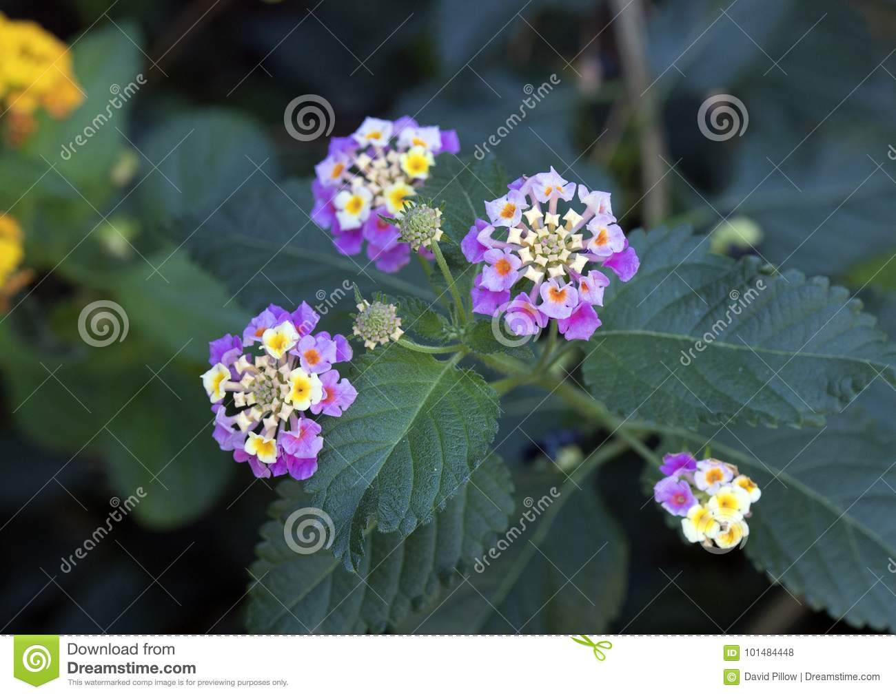 White And Yellow Flower Cluster Of A Lantana Plant Stock Photo