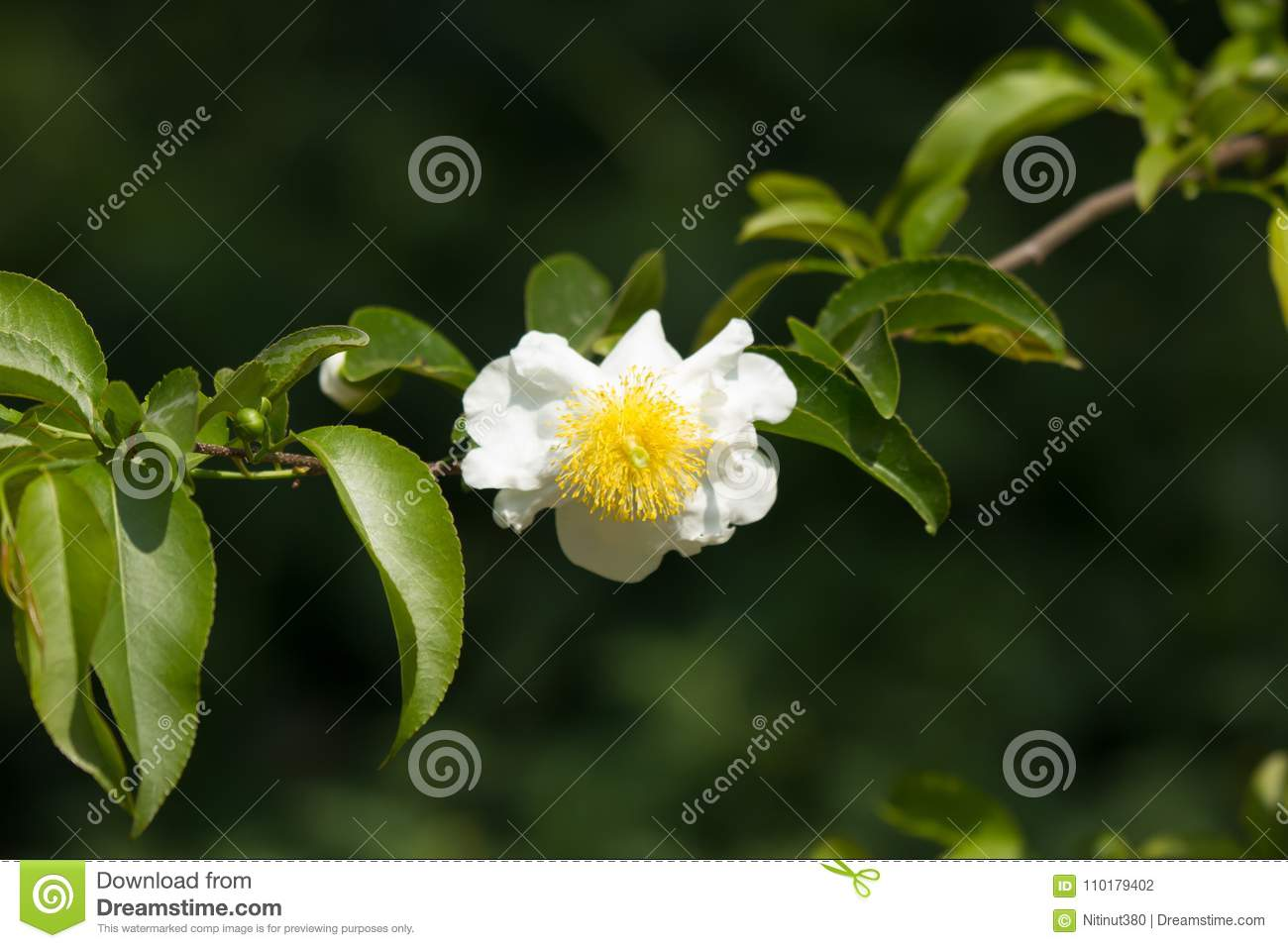 Fried Egg Tree Or Oncoba Spinosa Forssk Stock Photo Image Of Tree