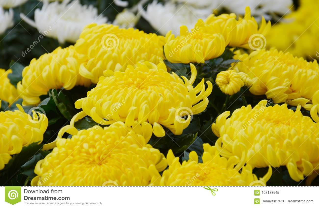 White And Yellow Flowers Natural Background Gardens Stock Image