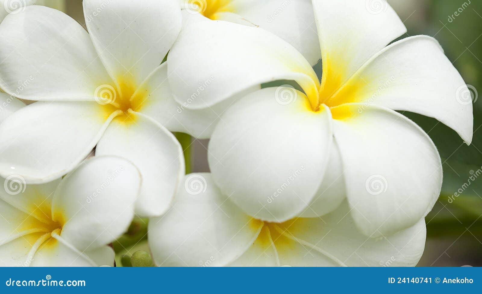 Fiori Bianchi Foto E Nomi.White And Yellow Frangipani Flowers Stock Image Image Of Flora