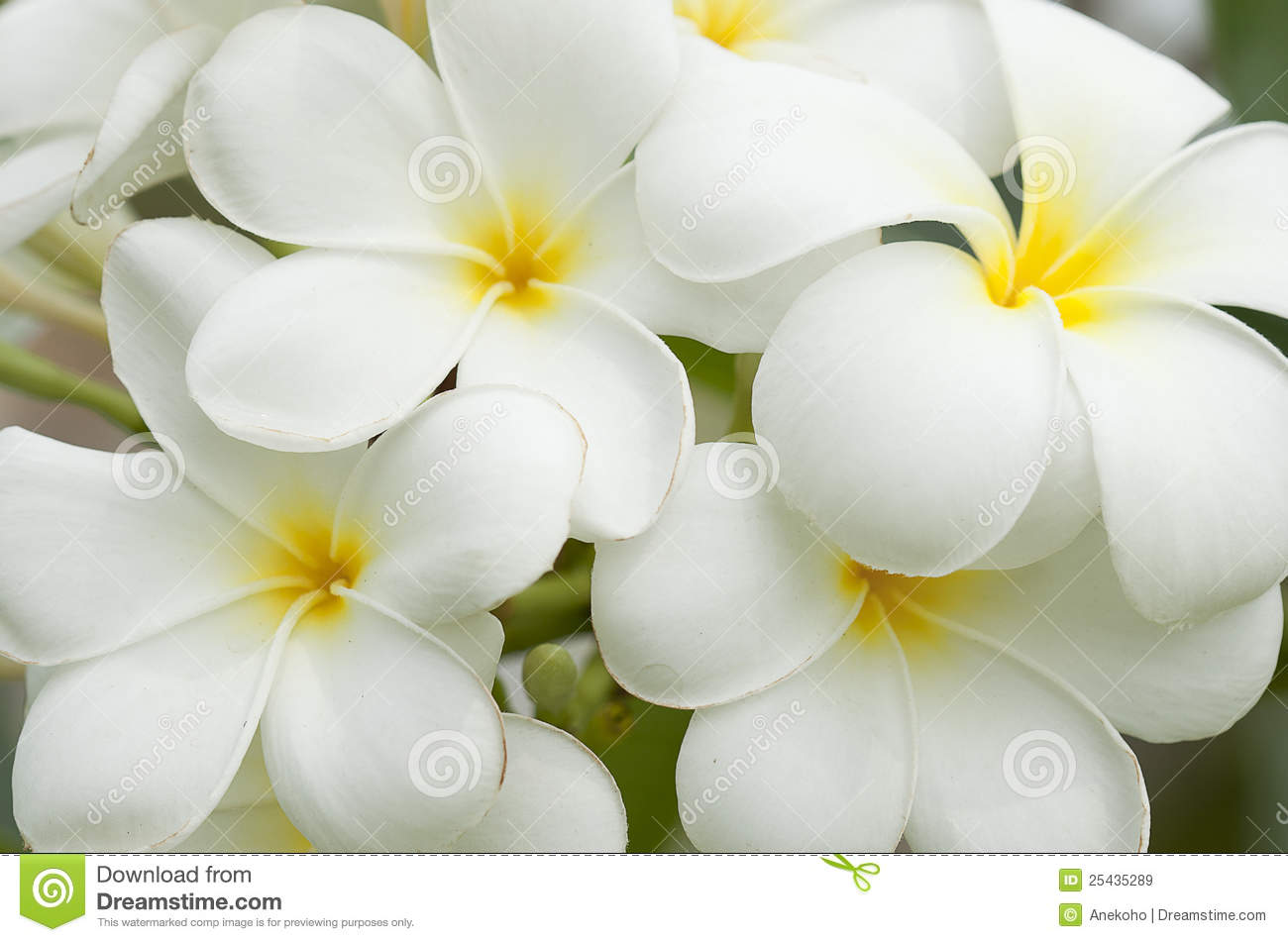 White And Yellow Frangipani Flowers Royalty Free Stock Images Image 25435289