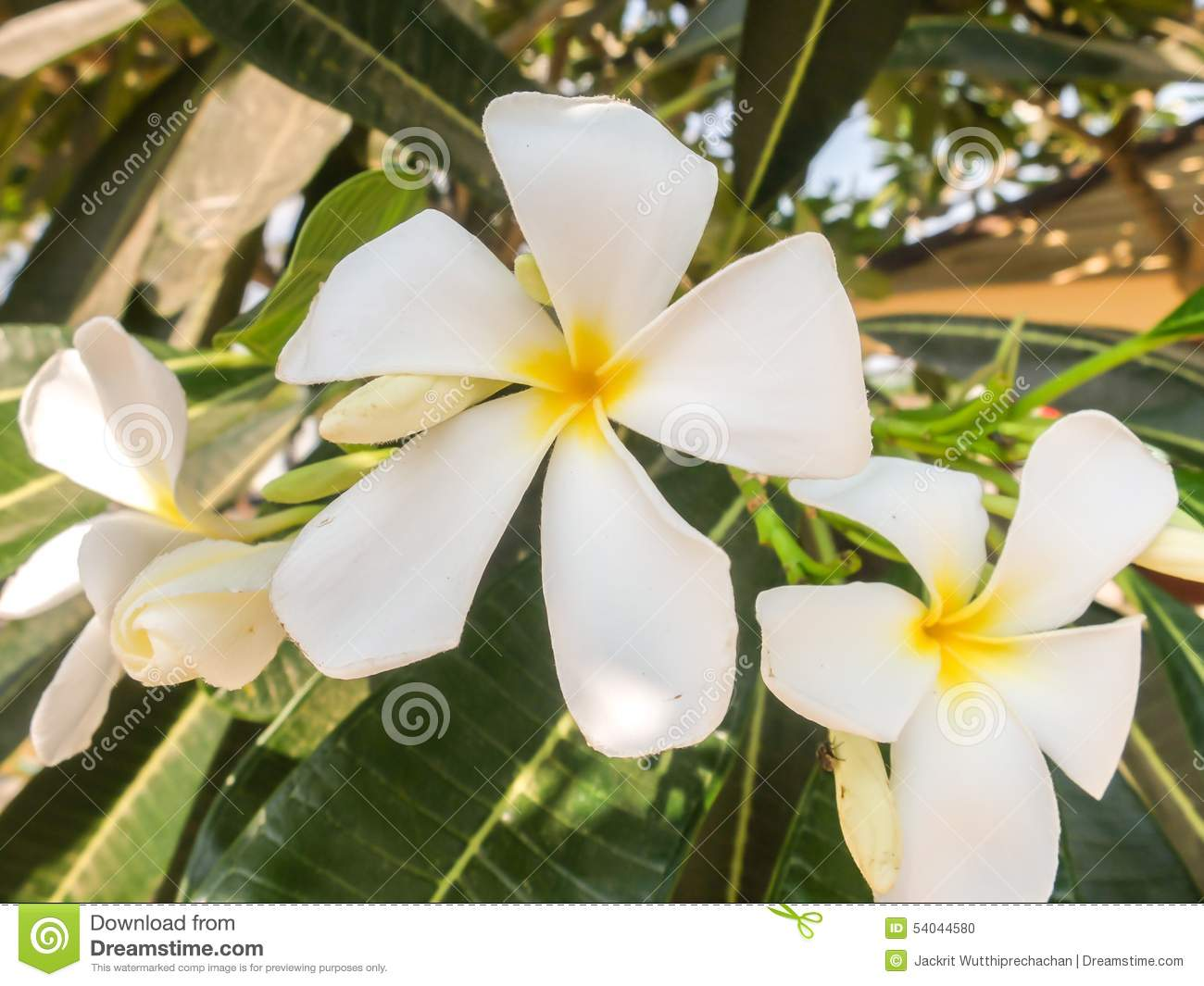 White and yellow frangipani flowers with leaves in the shadow stock white and yellow frangipani flowers with leaves in the shadow of big tree mightylinksfo