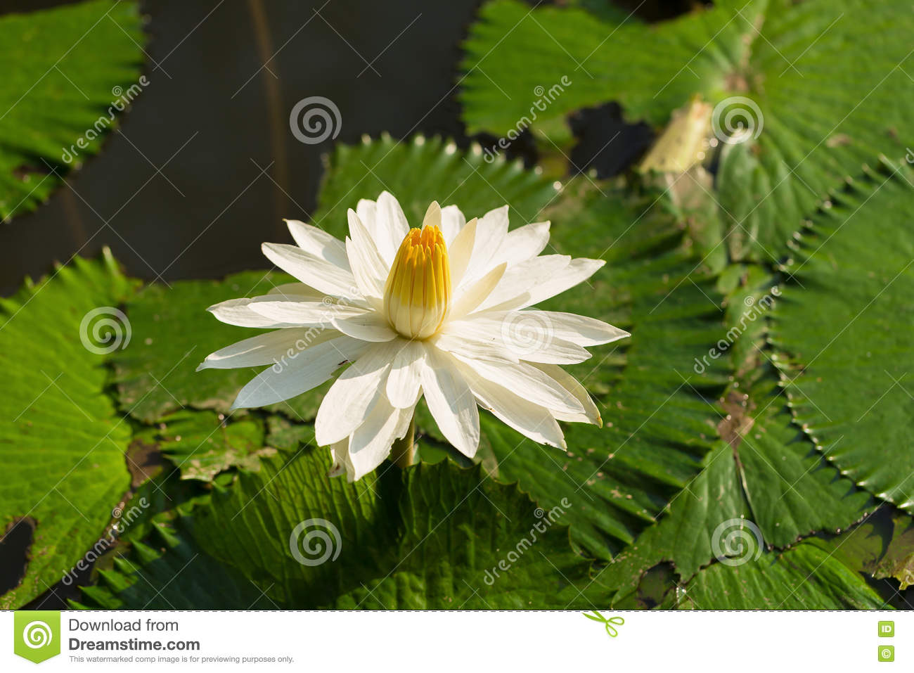 White Yellow Lotus Flower And Lotus Flower Plants Stock Image