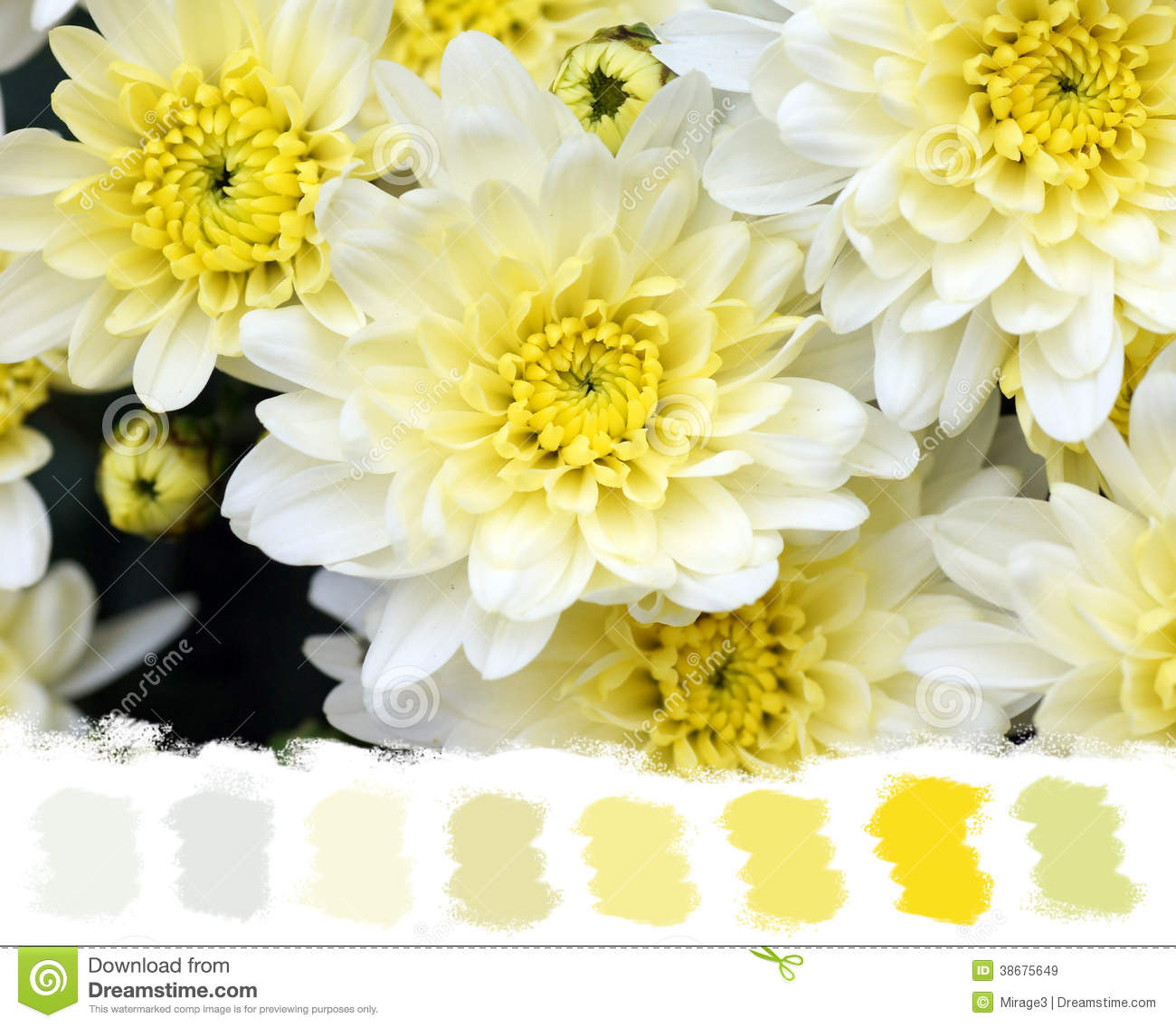 White And Yellow Mums Color Palette Stock Image Image Of