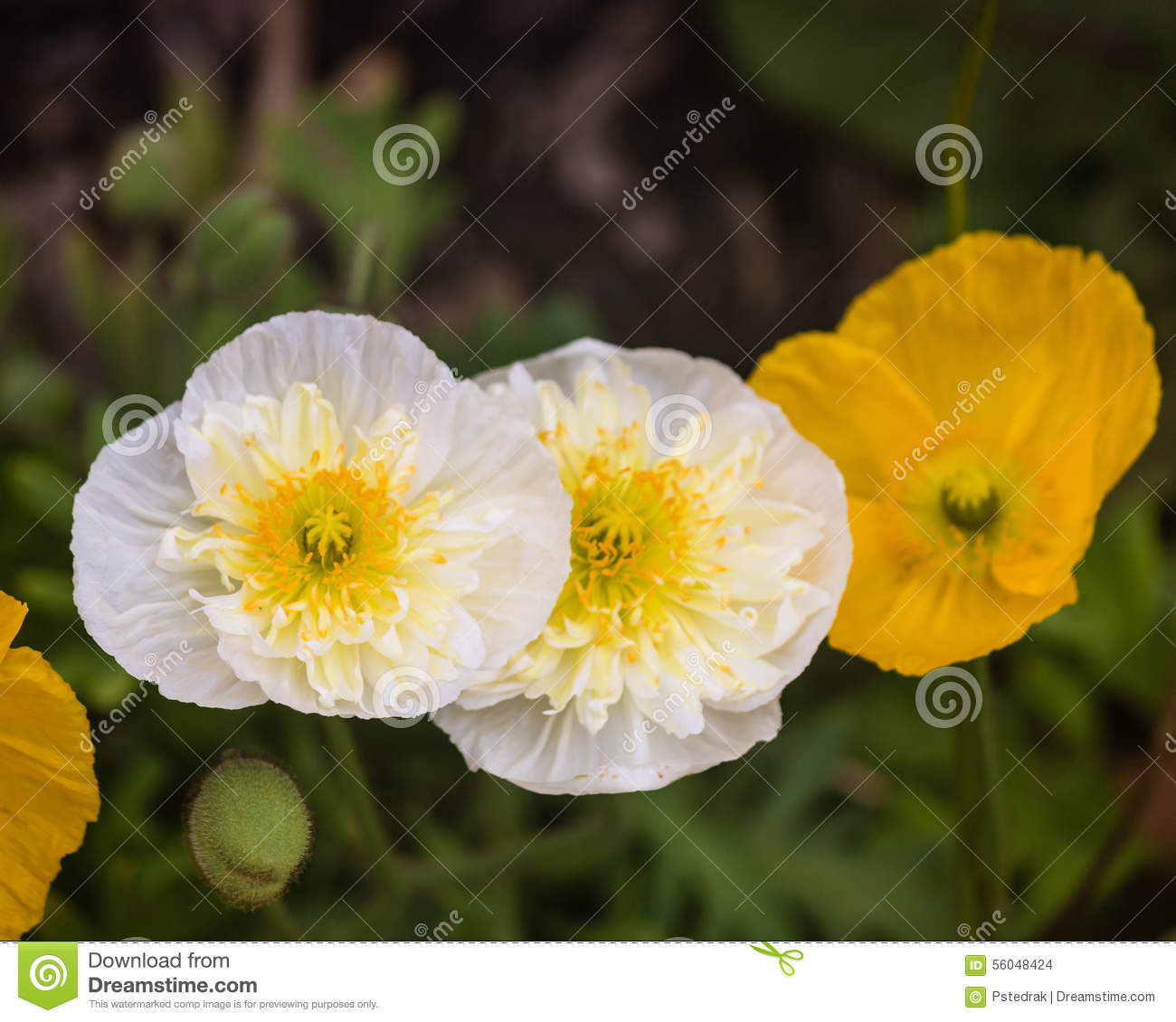 White And Yellow Poppies Stock Photo Image Of Bloom 56048424