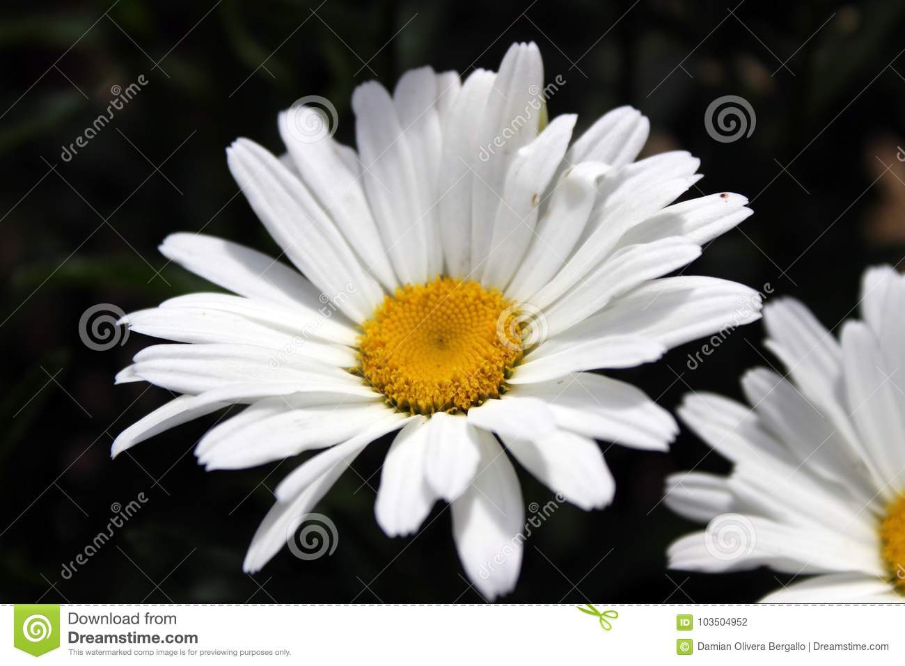 White and yellow pretty flower in spring