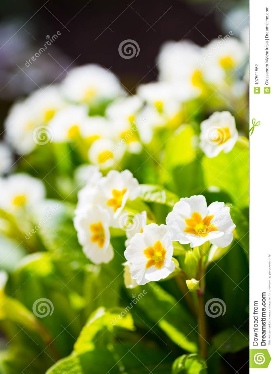 White And Yellow Primrose Flowers At Sunny Day In Garden Stock Photo