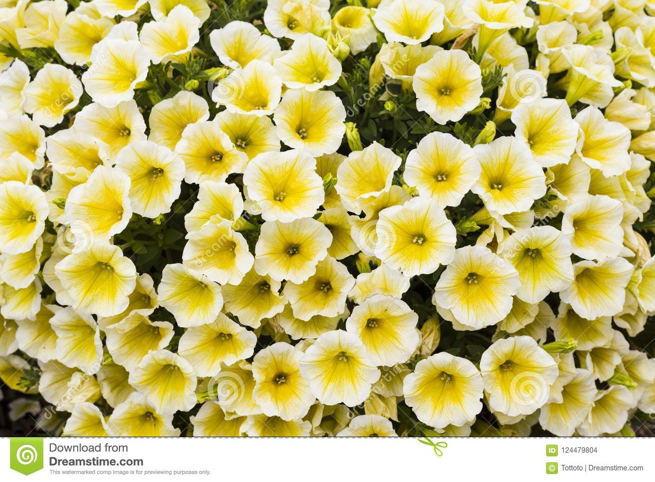 White And Yellow Small Flowers Background Stock Photo Image Of