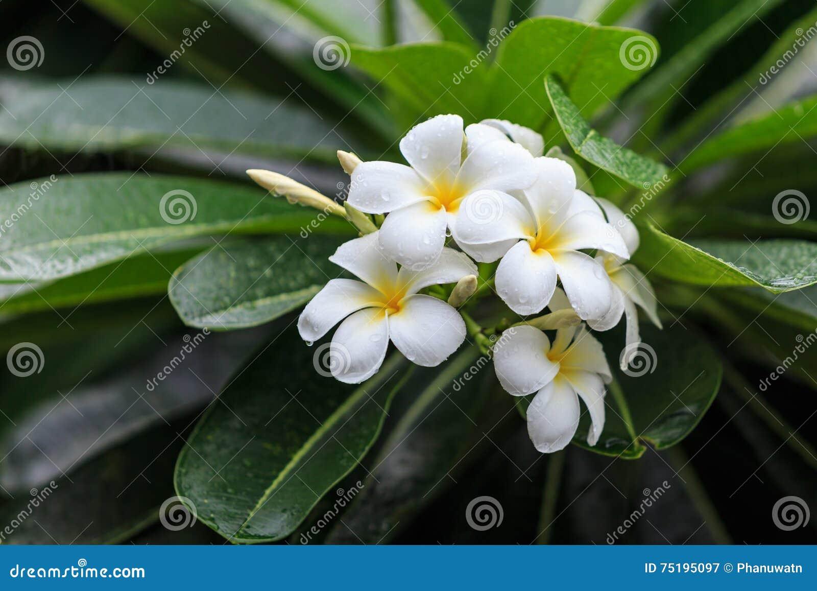 White And Yellow Tropical Flowers Frangipani Plumeria On Tree