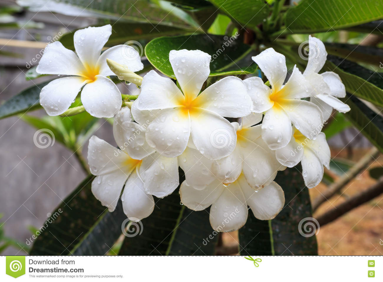 white and yellow tropical flowers, frangipani, plumeria on tree, Beautiful flower