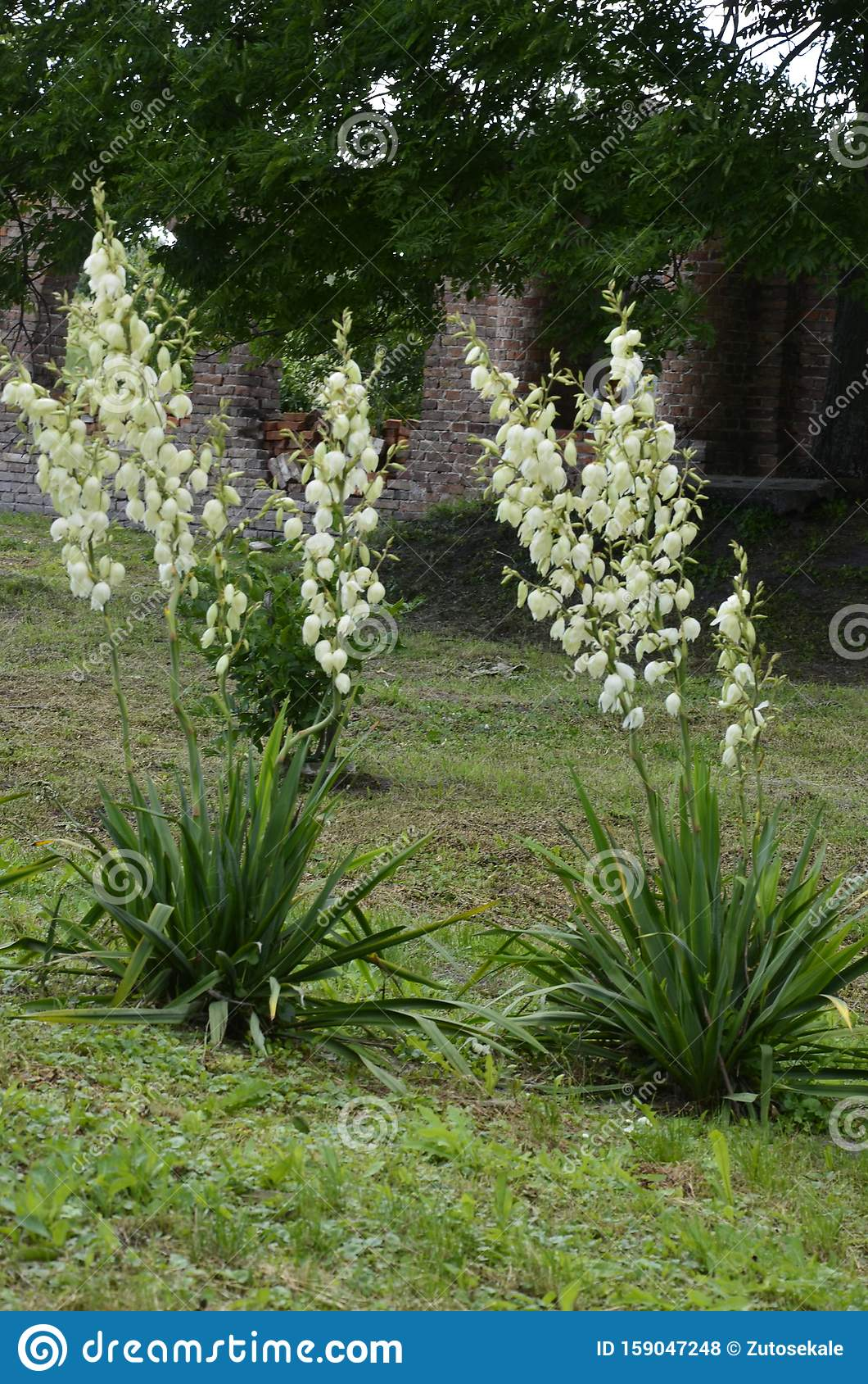 White Flowers Of Yucca Plant Stock Photo Image Of Floral Leaf 159047248