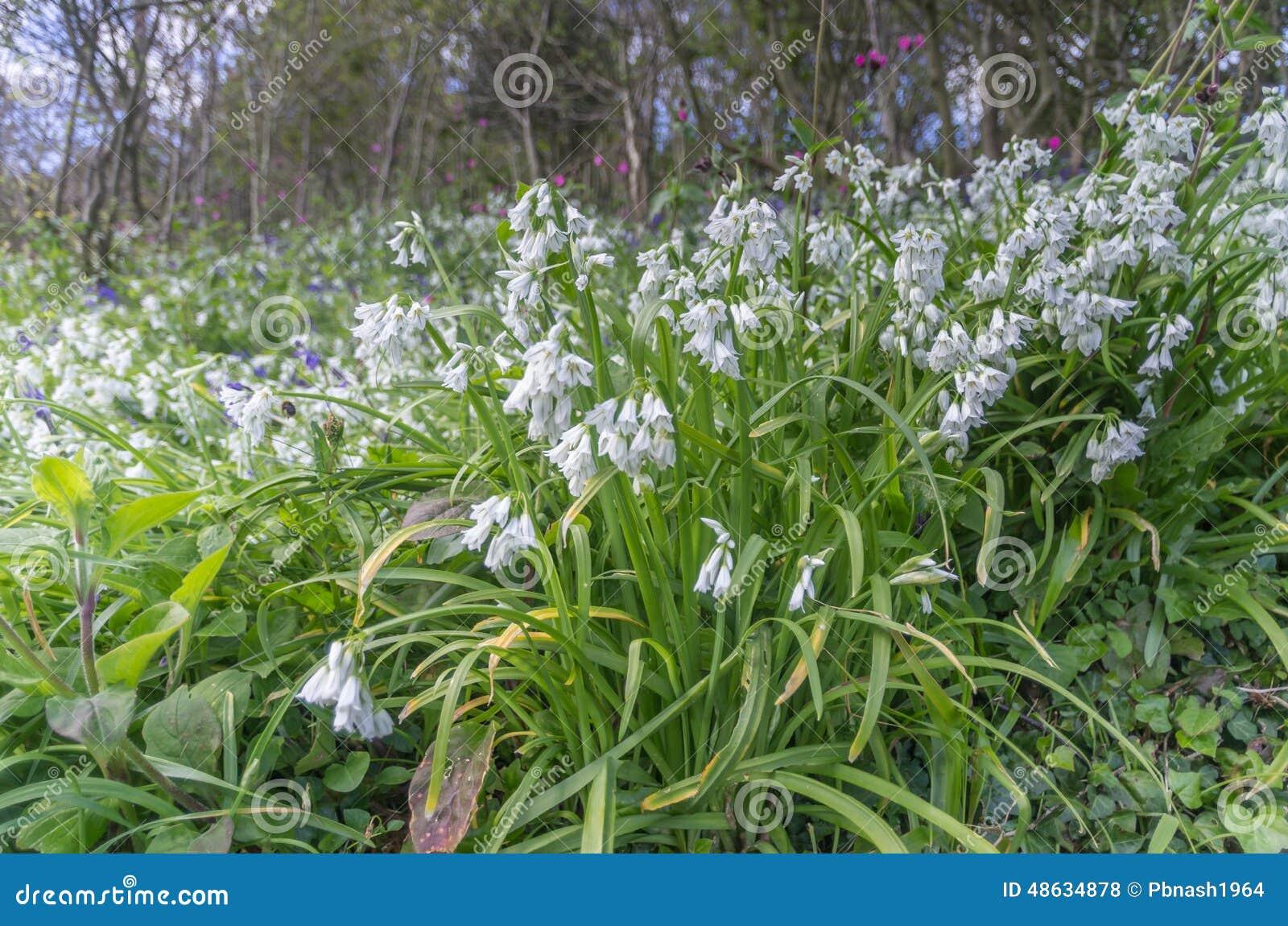 Whitebells In Cornwall England Uk Stock Photo Image Of Background
