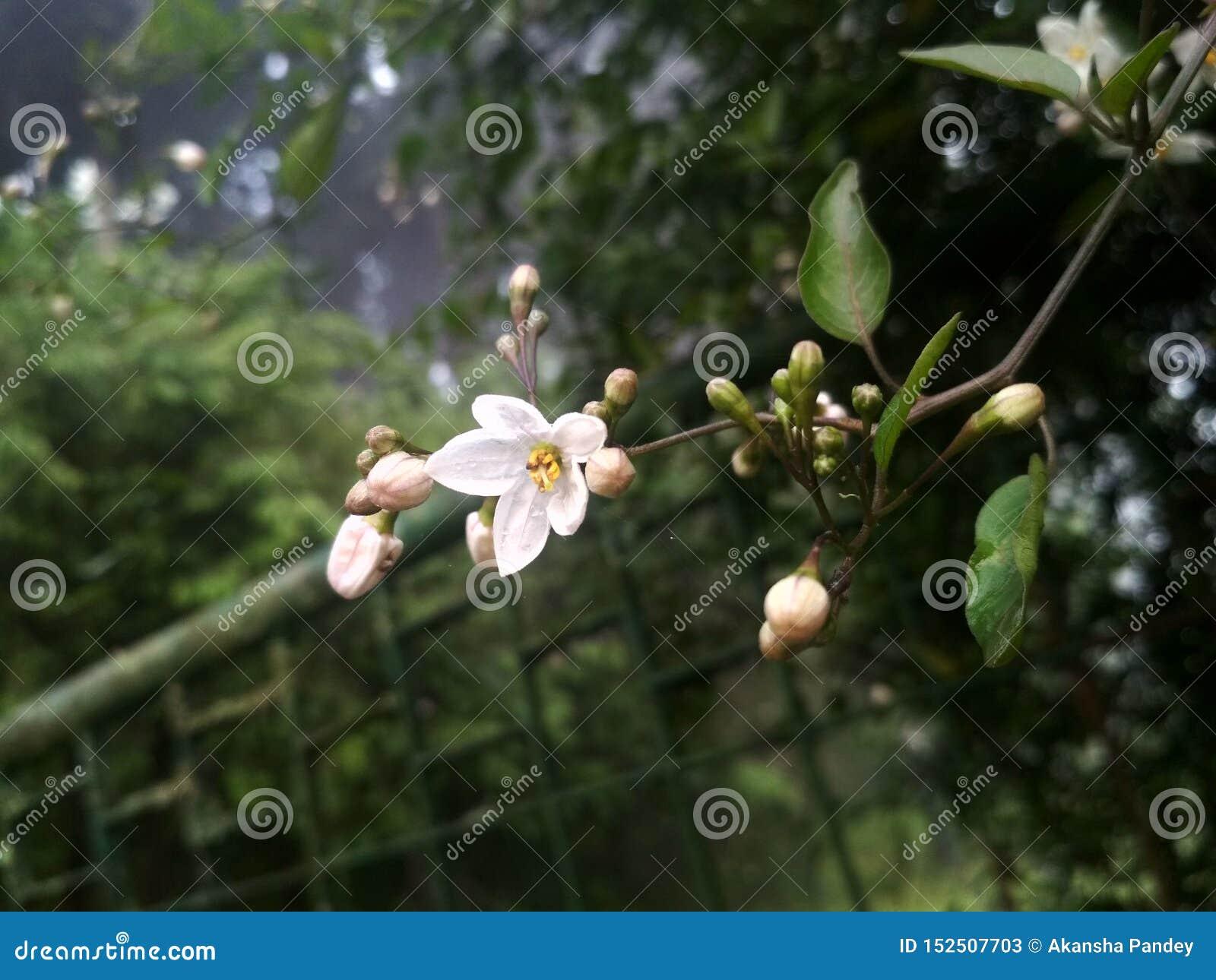 Whiteflower, Nature beauty, mobiclickz, photography