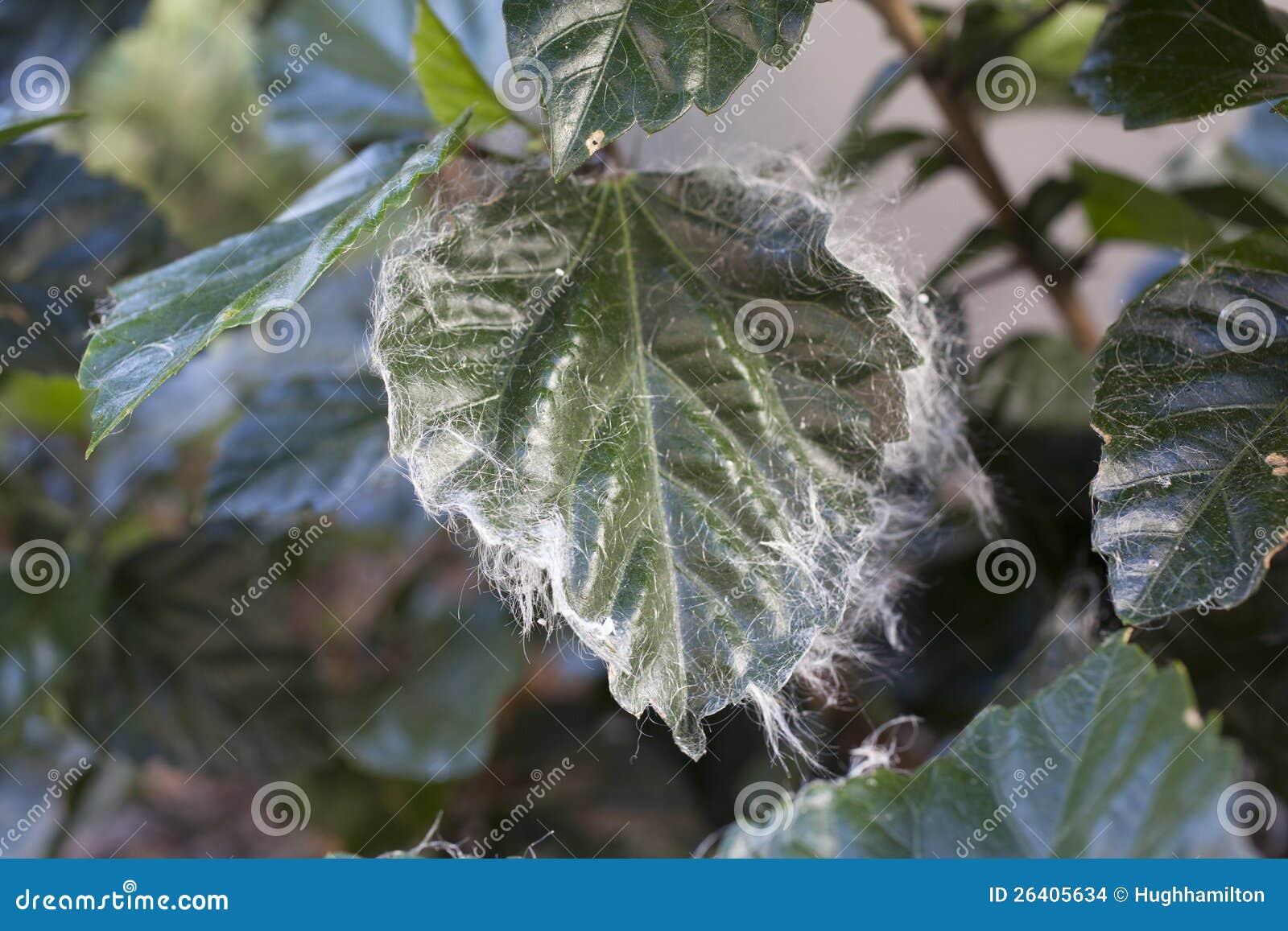 Whitefly Infestation On Hibiscus Stock Images Image