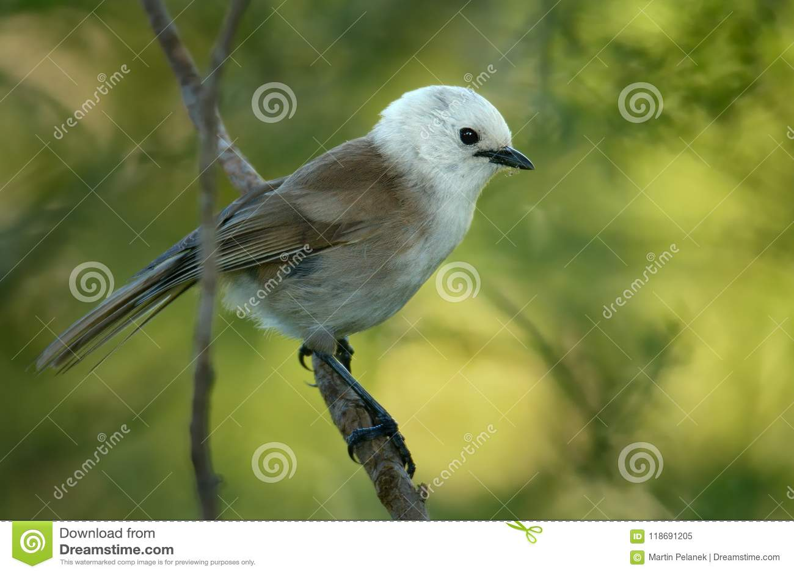 Whitehead - Mohoua albicilla - popokatea small bird from New Zealand, white head and grey body