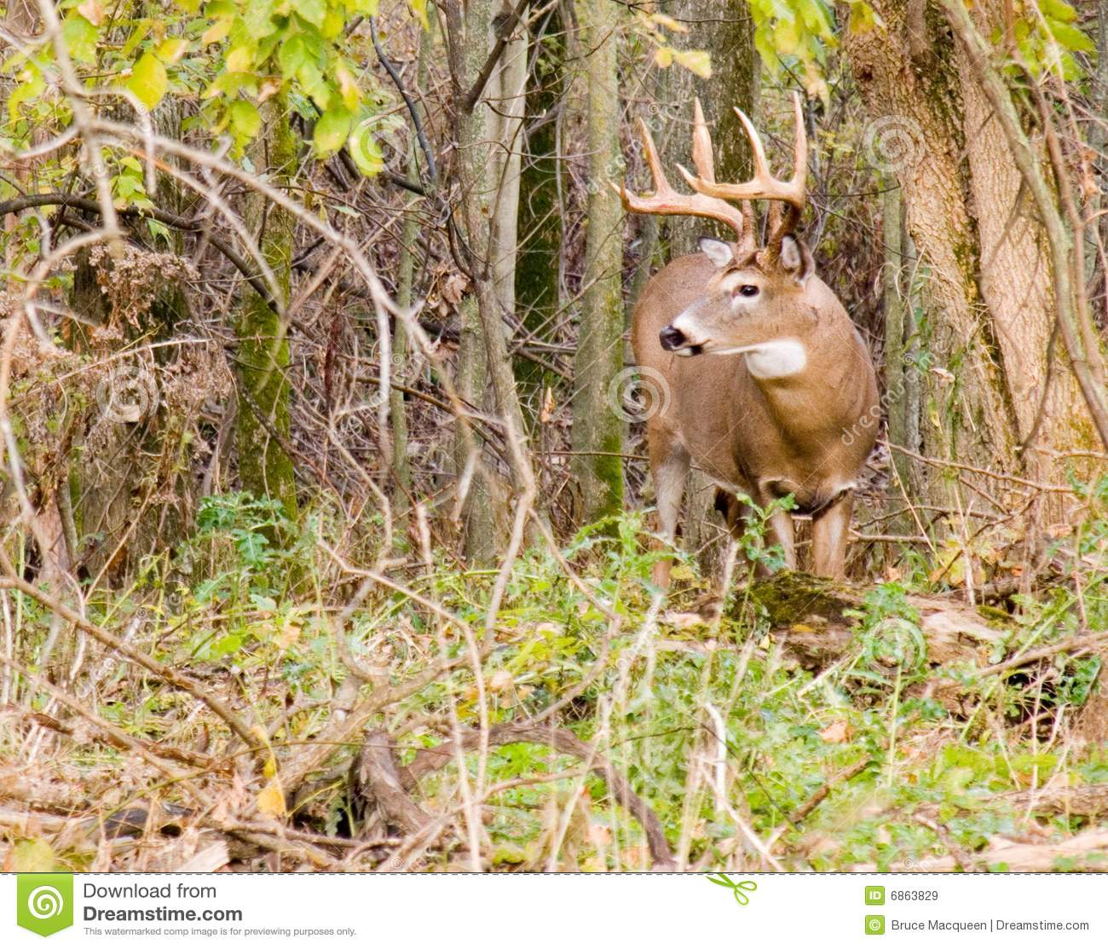 Whitetail оленей самеца оленя