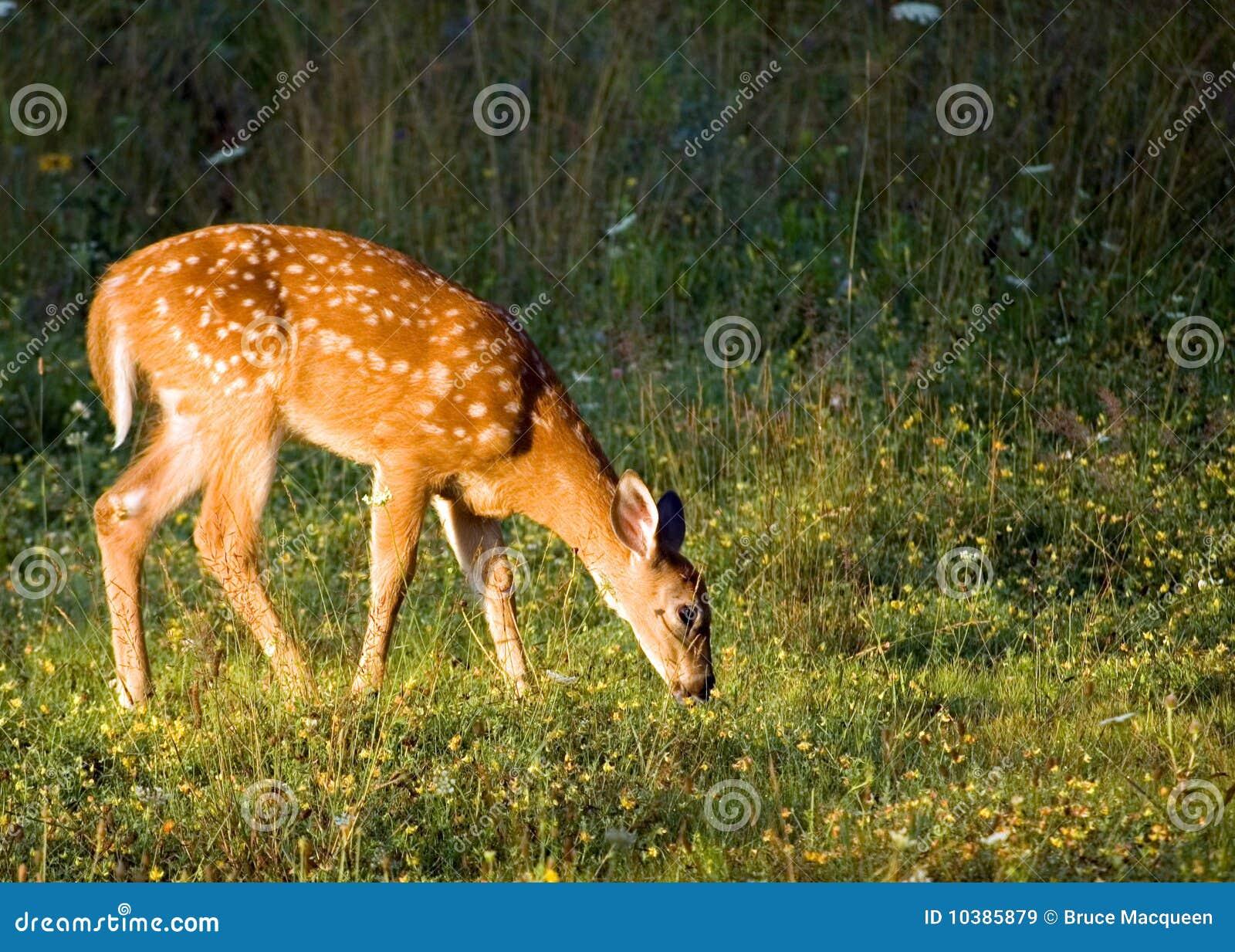 Whitetail пыжика оленей