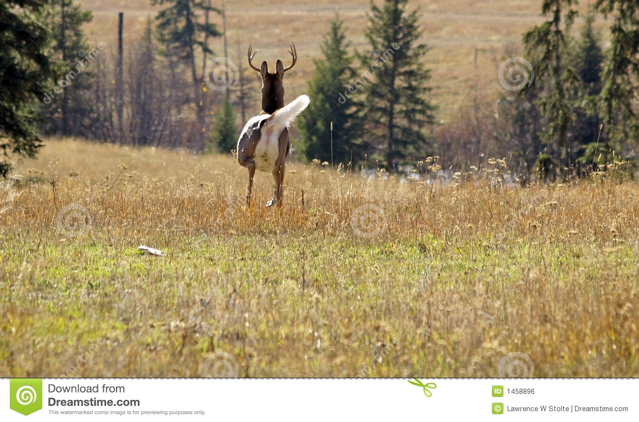 Whitetail Buck On The Move Royalty Free Stock Image ...