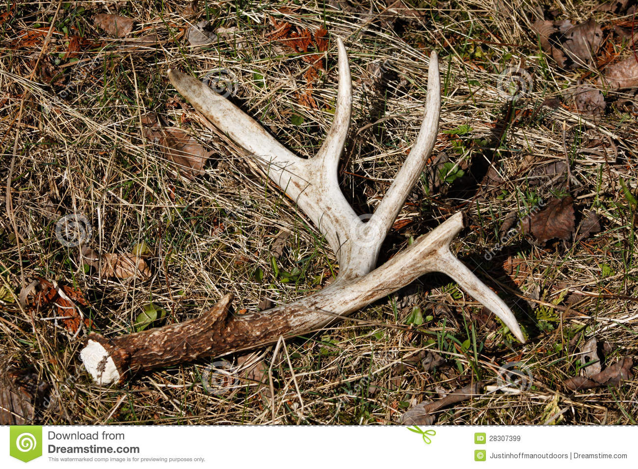 Whitetail Deer Antler Shed On Ground Royalty Free Stock