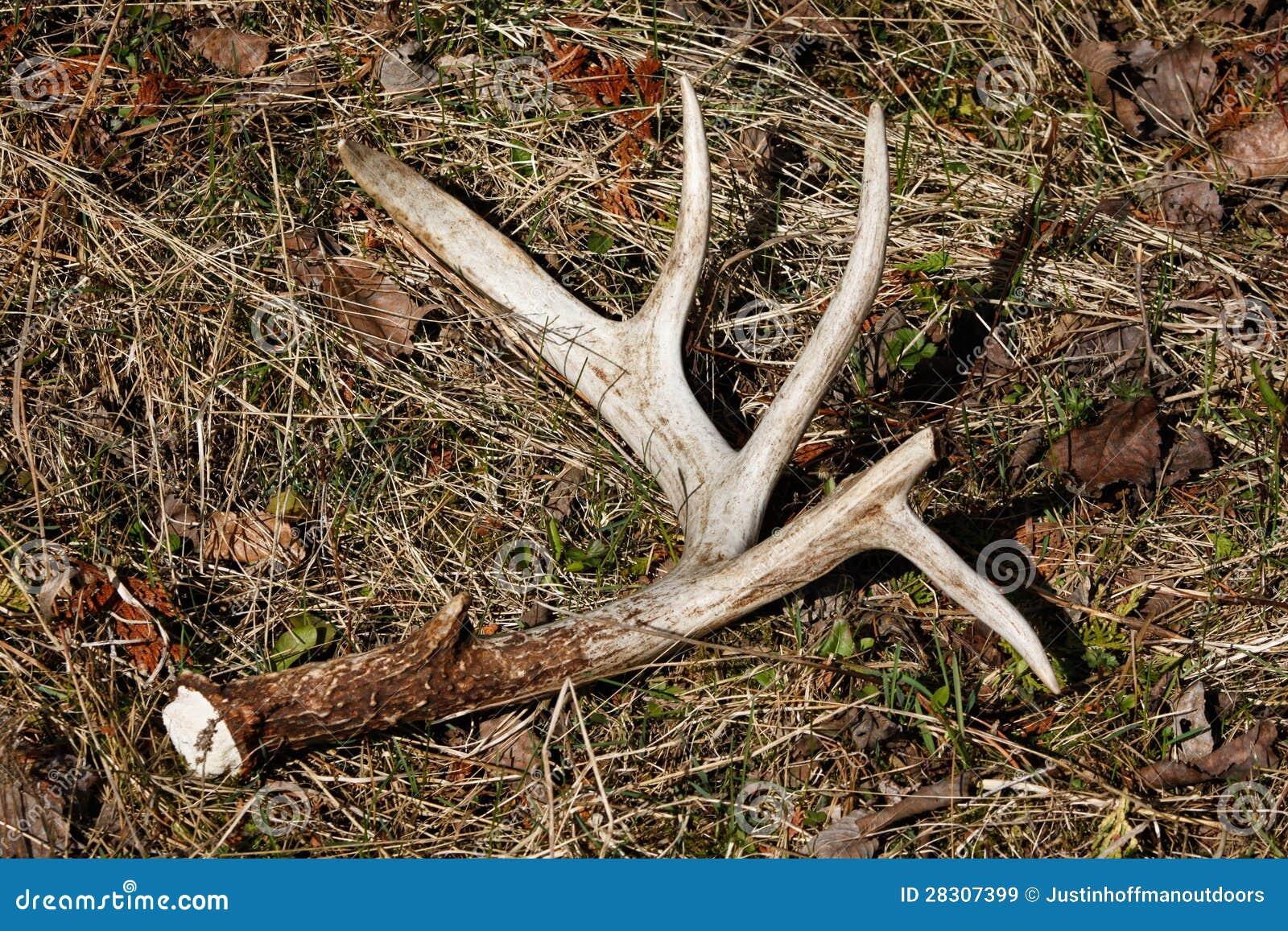 Whitetail Deer Antler Shed On Ground Stock Image Image