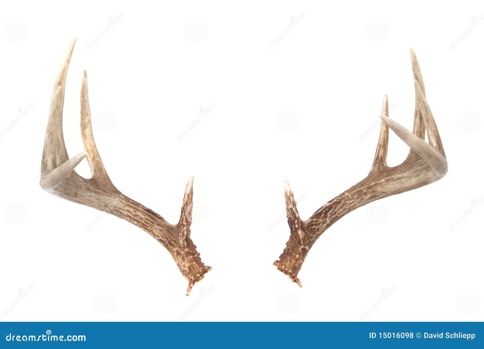 Whitetail Deer Antlers Royalty Antlers
