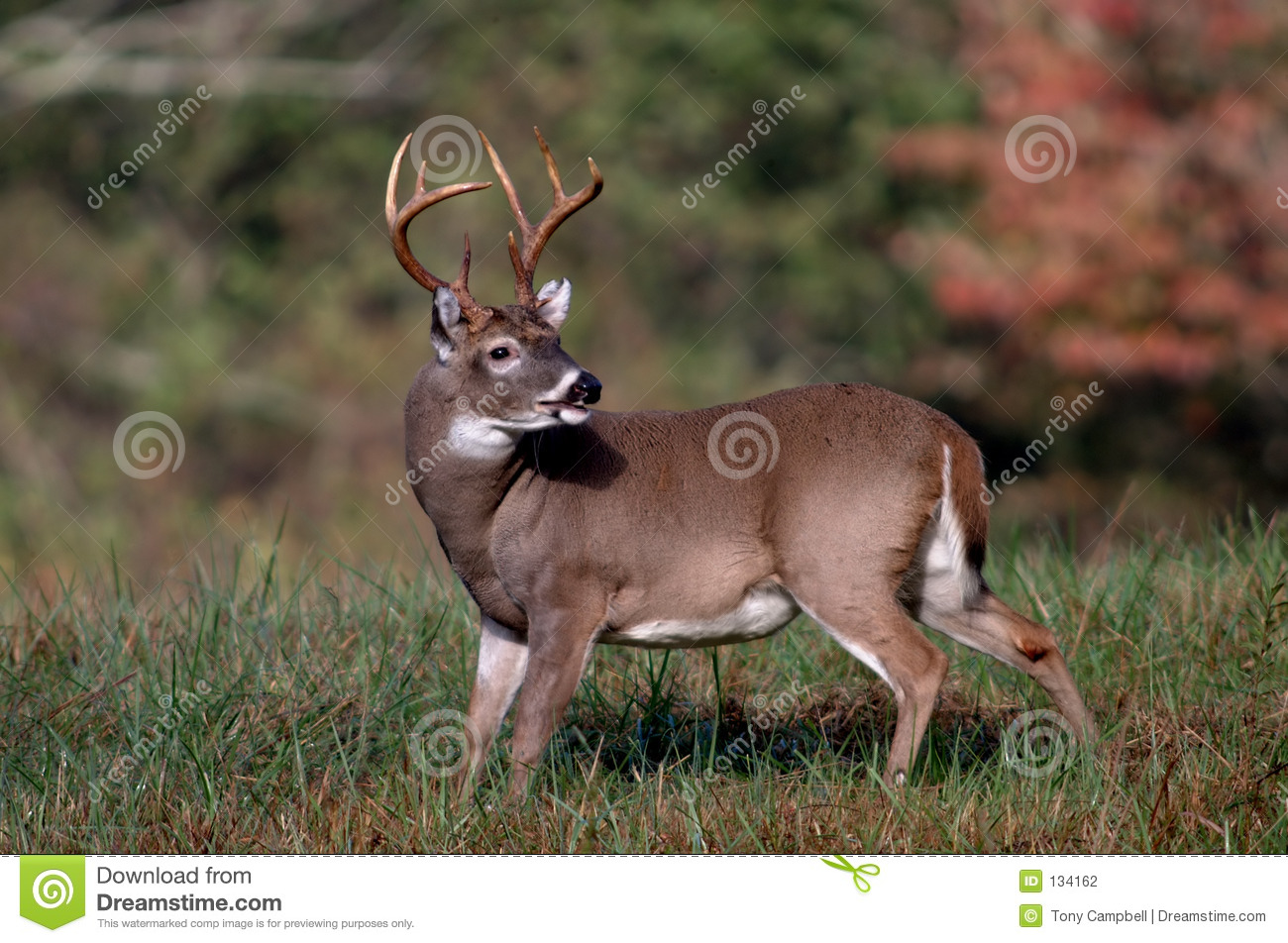 Whitetail Deer Buck Stock Photography - Image: 134162