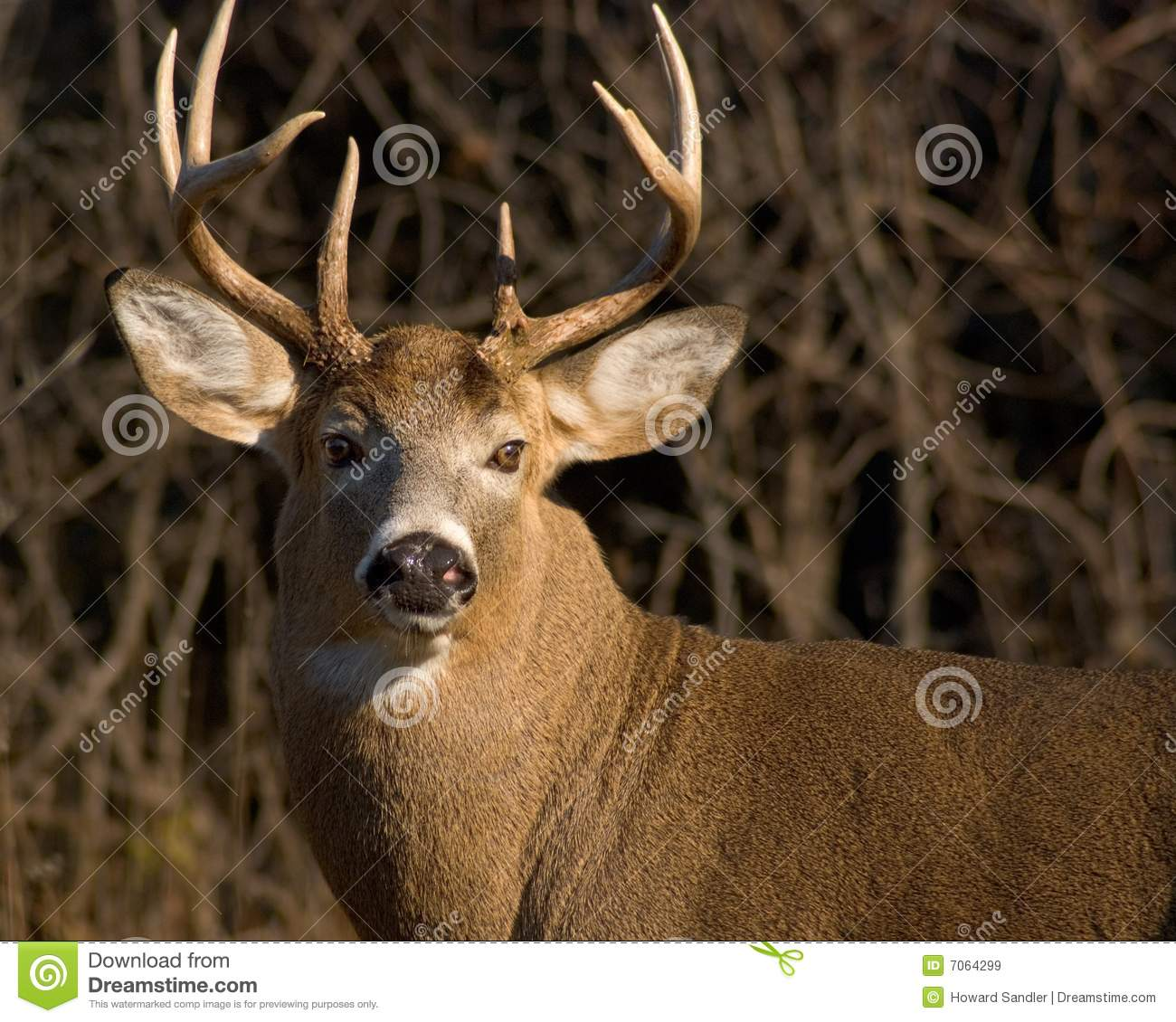 Whitetail Deer Buck Stock Image. Image Of Buck, White