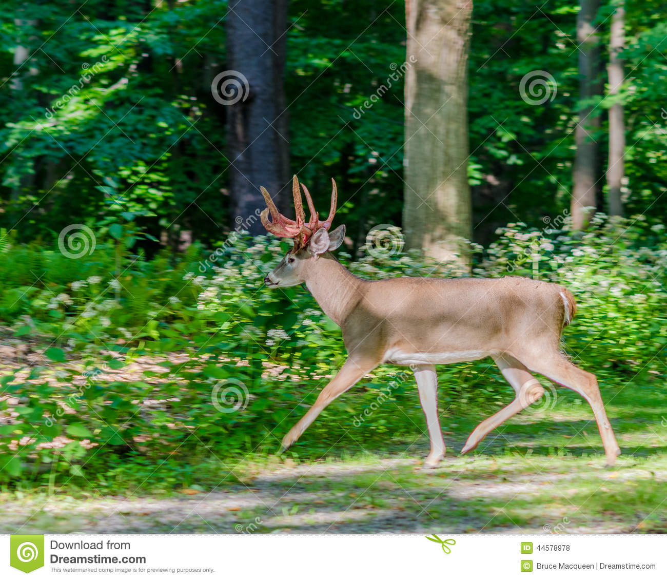 Whitetail Deer Shedding Antlers Stock Photography