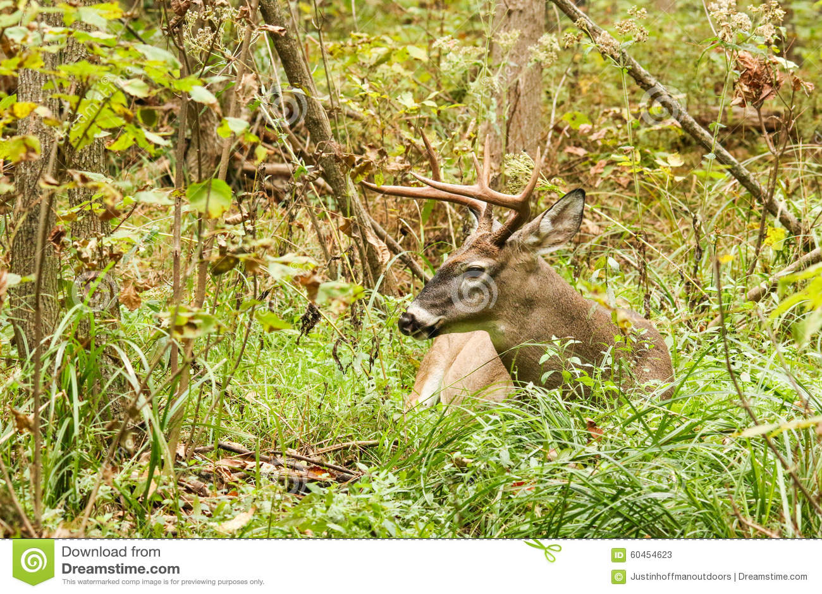 Buck Whitetail Deer Resting Stock Photography | CartoonDealer.com #42961550