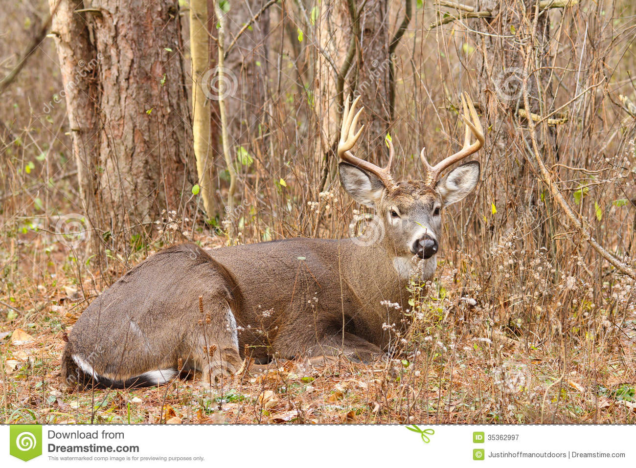 Whitetail Deer Buck Rut Bedded Royalty Free Stock Photography - Image ...