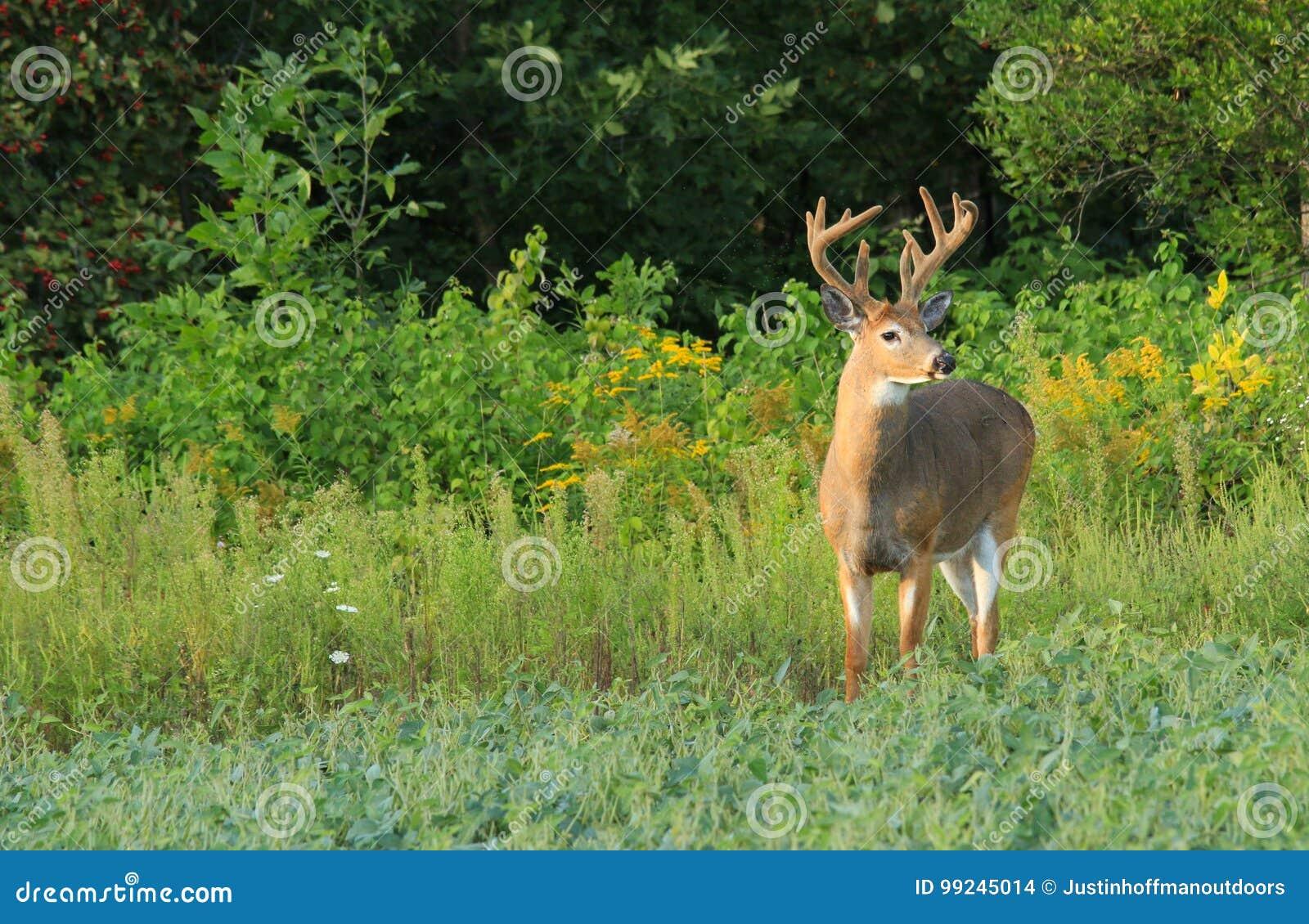 Whitetail Deer Buck with Velvet Antlers