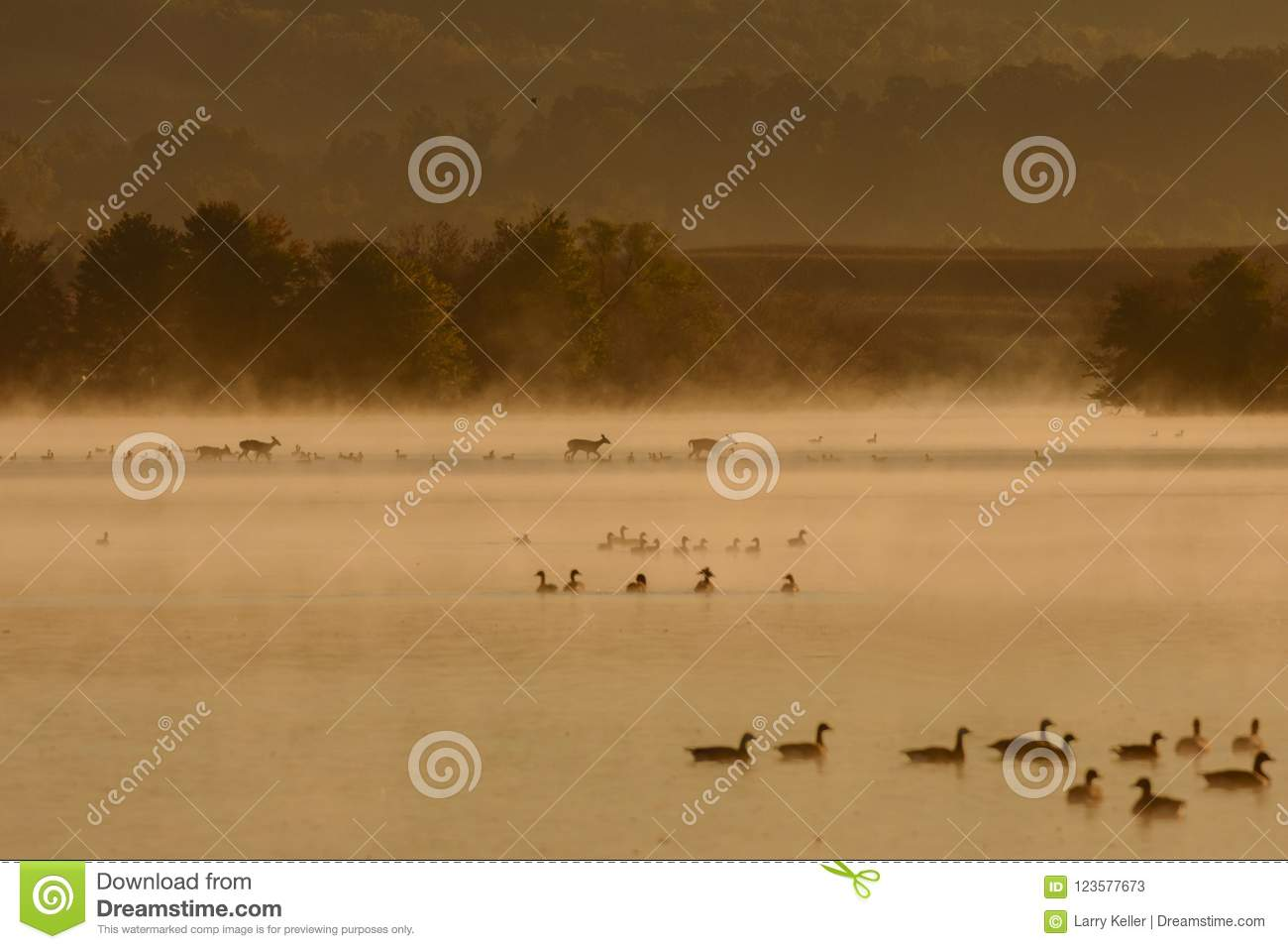 Whitetail deer crossing a lake guarded by Geese