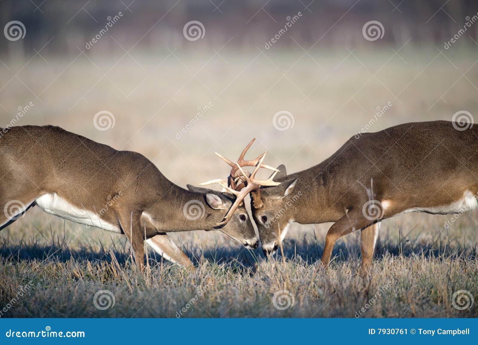 Whitetail Deer Fighting Stock Image Image 7930761