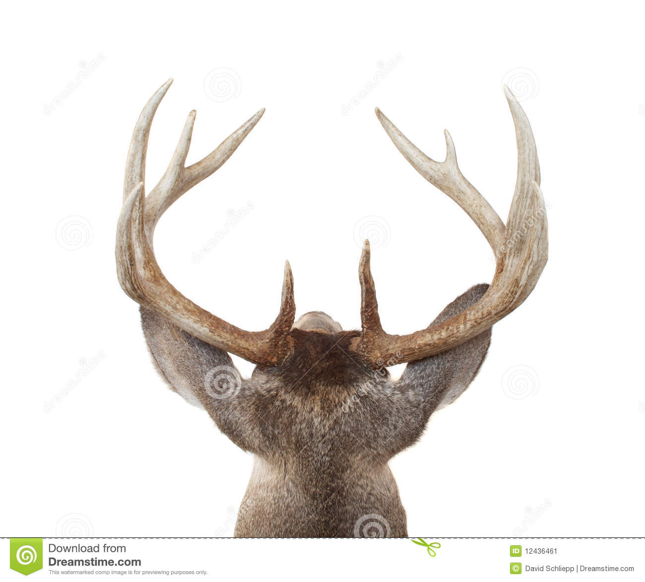 Whitetail Deer Head From Above And Behind Stock Image