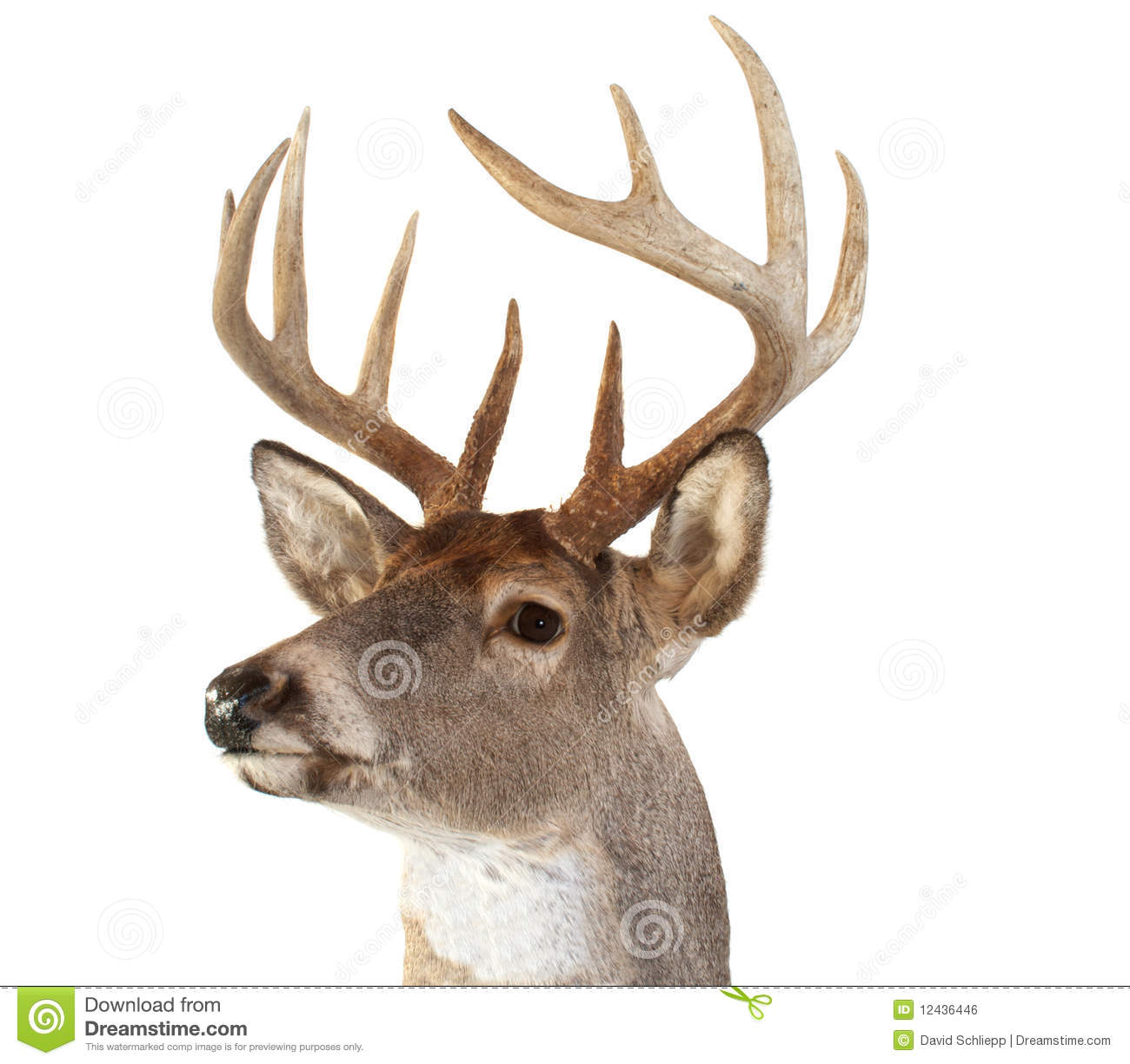 Whitetail Deer Head Looking Left Royalty Free Stock Image - Image ...