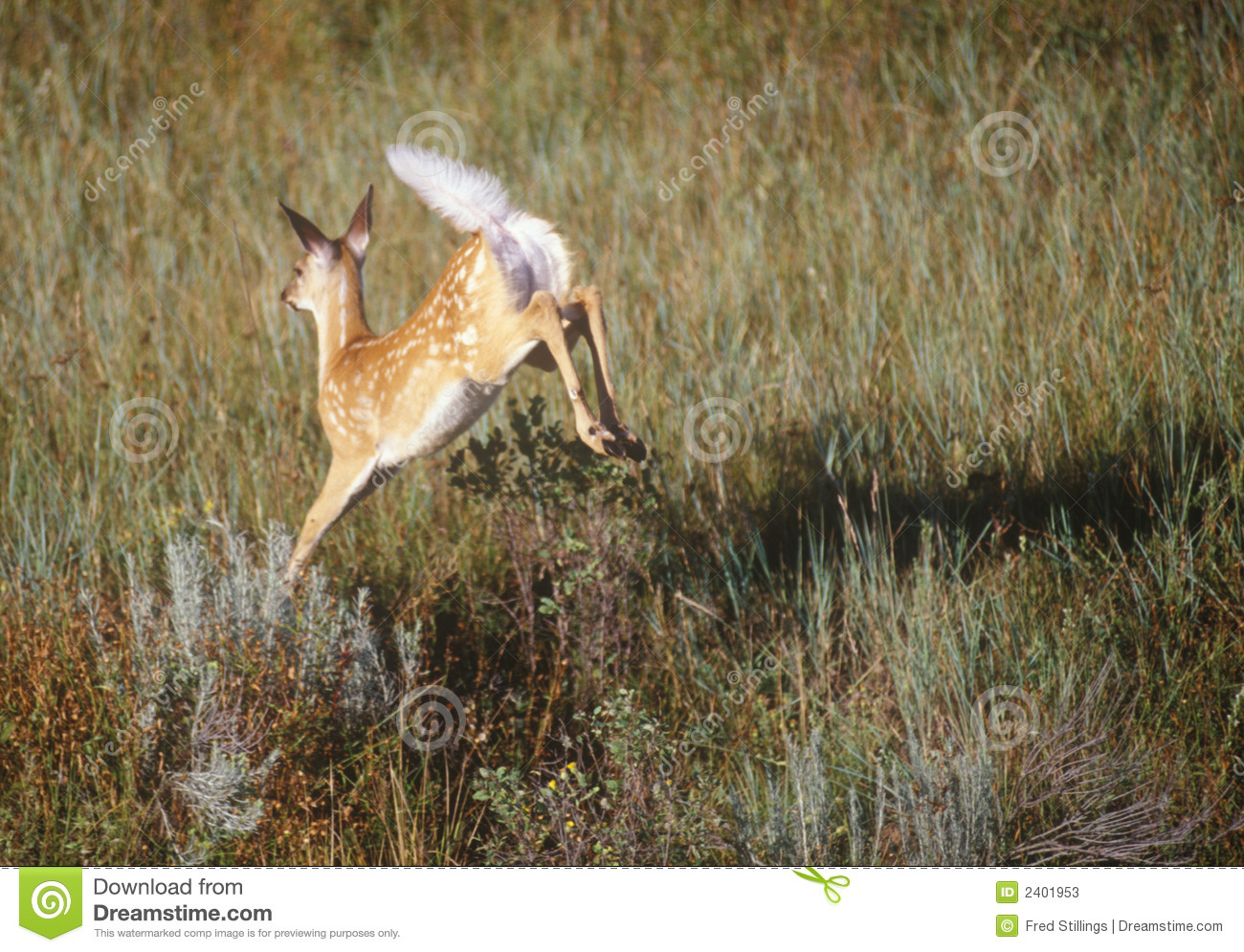 Whitetailed deer (fawn with spots) leaping through tall grass in ...