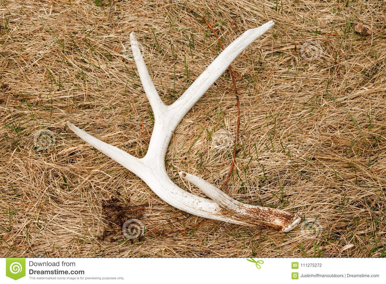 Whitetail Deer Shed Antler in Field