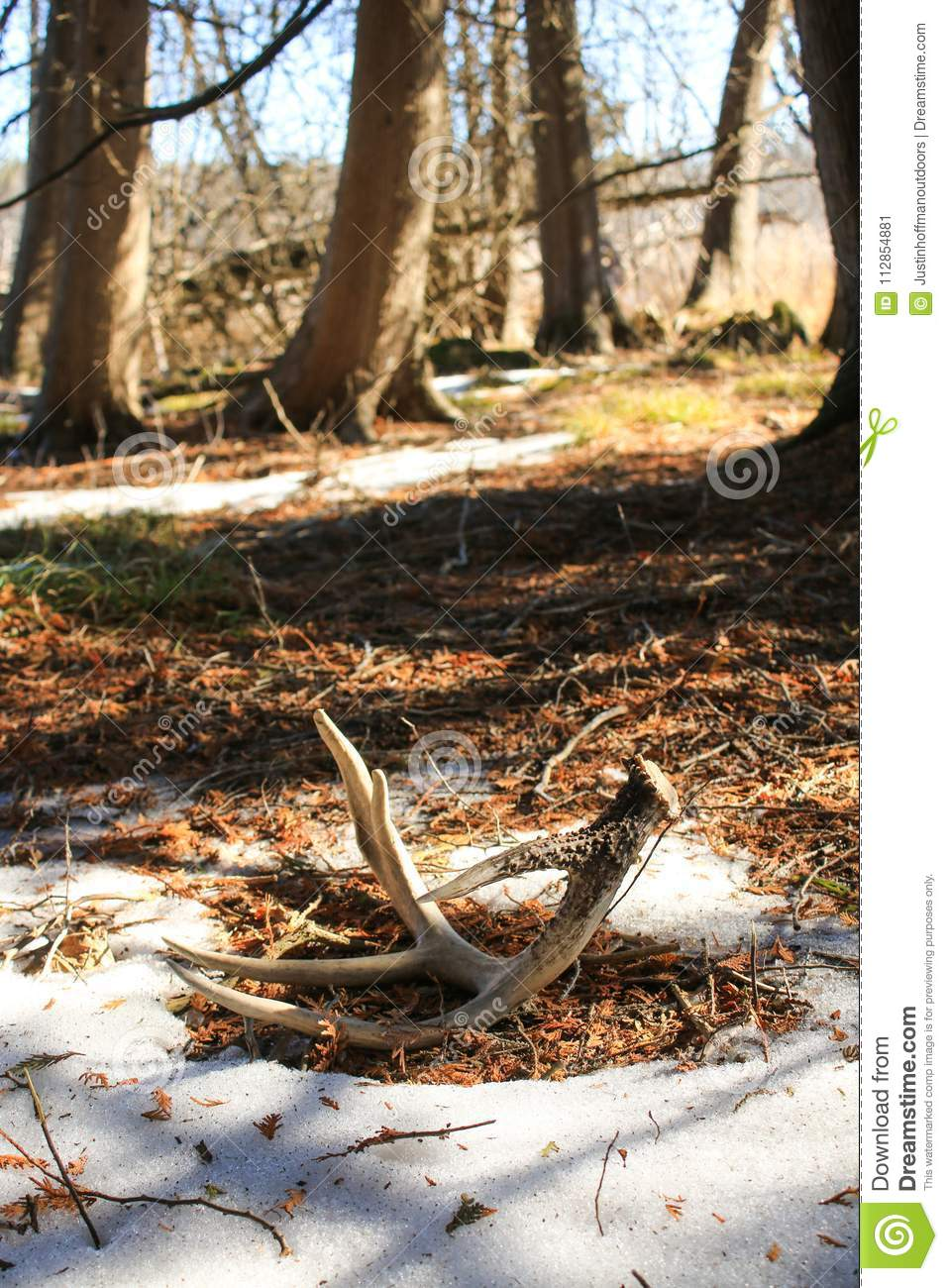 Whitetail Deer Shed Antler on Ground in Forest