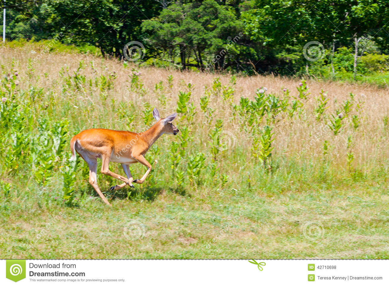 Whitetail Doe Running stock photo. Image of whitetail ...