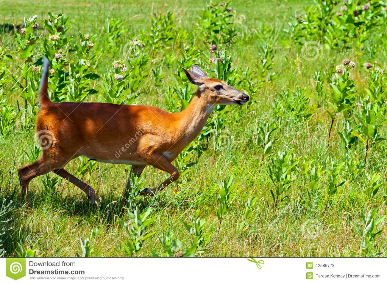 Whitetail Doe Running Stock Photo - Image: 42586778