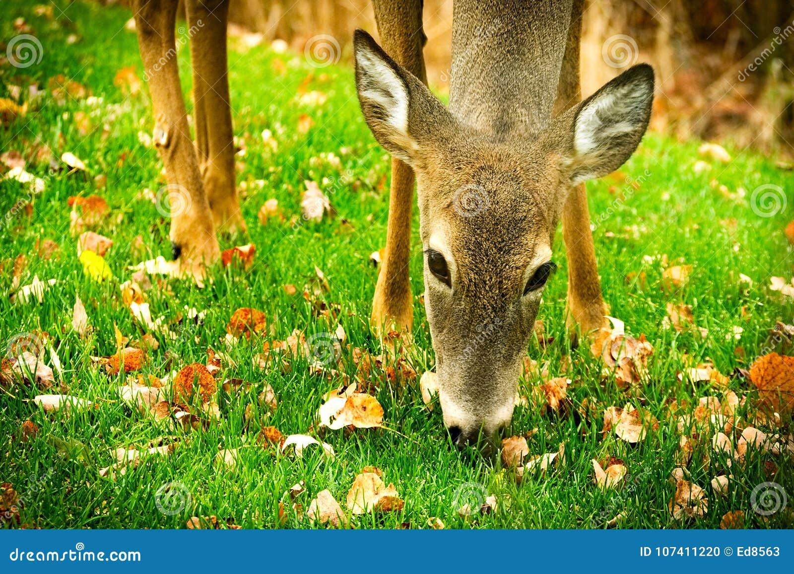 Whitetailherten die fawn gras en bladerenclose-up eten