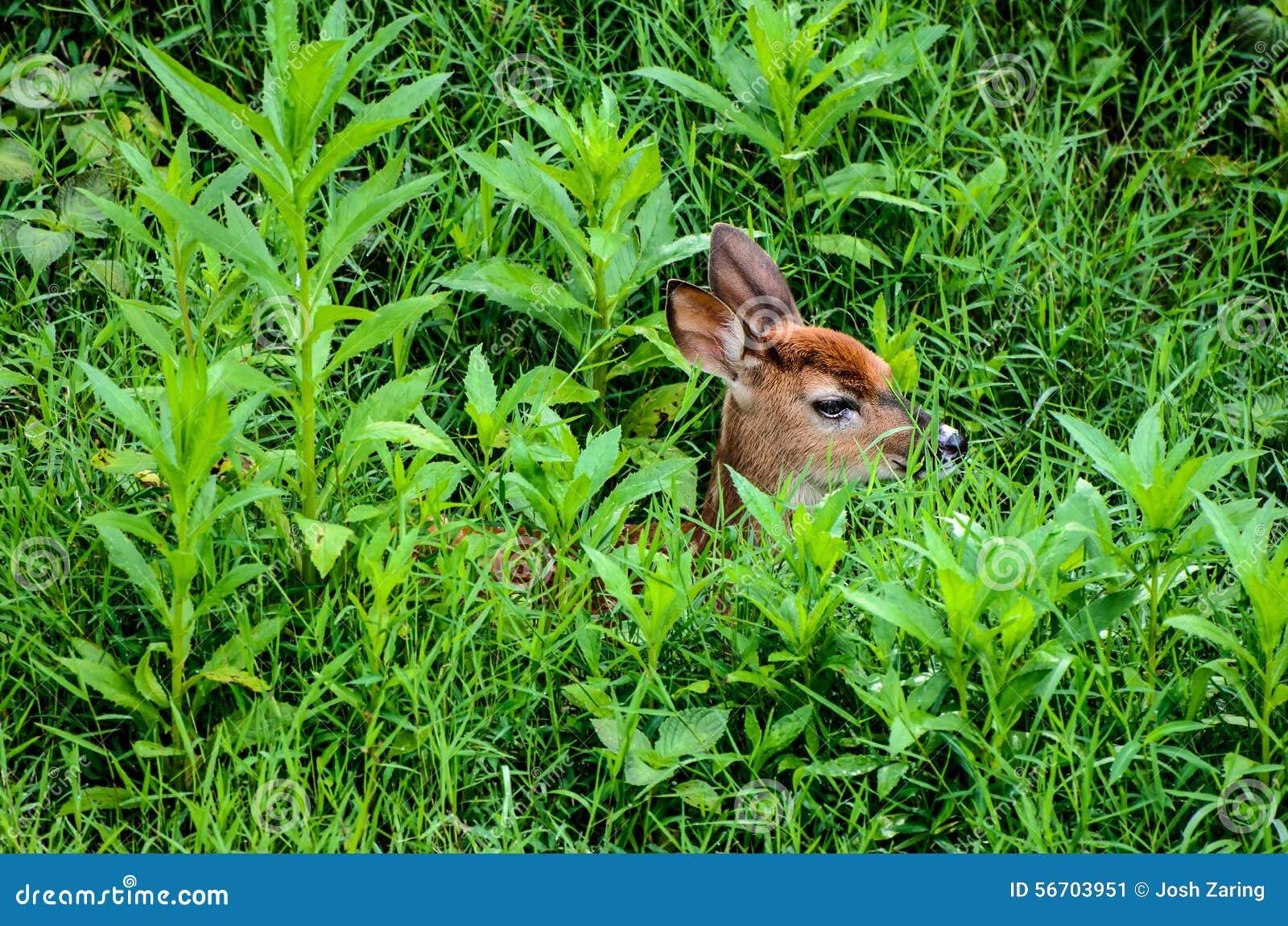 Whitetailherten Fawn Hiding in Lang Gras (vignet)