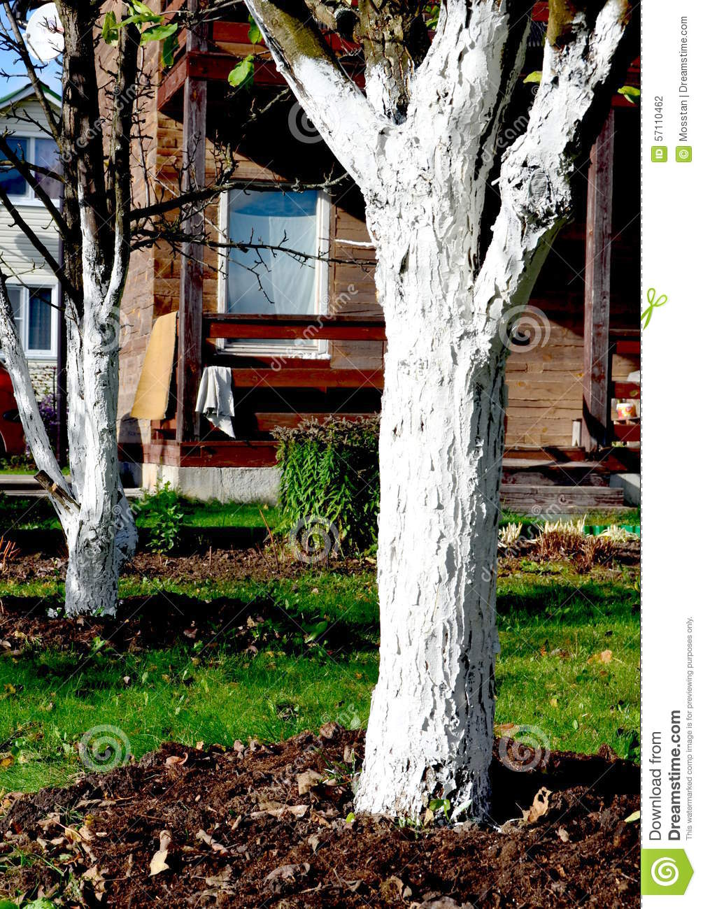 Whitewashing trees in the fall: why and how to do it