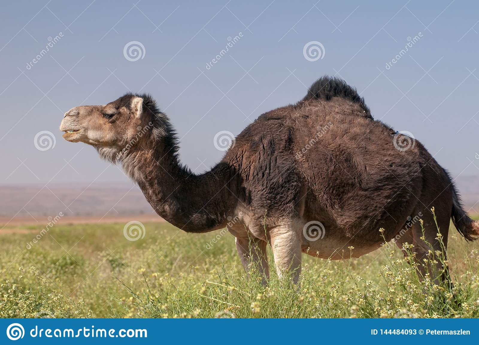 Wild Dromedary in the green Moroccan desert