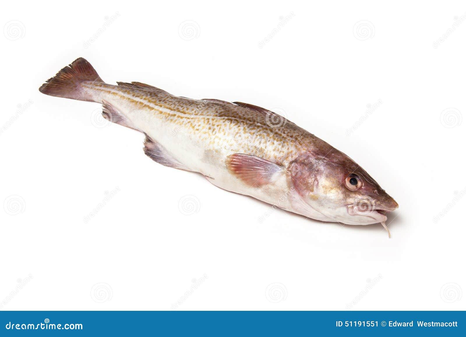 Whole cod fish stock photo image 51191551 for Atlantic cod fish