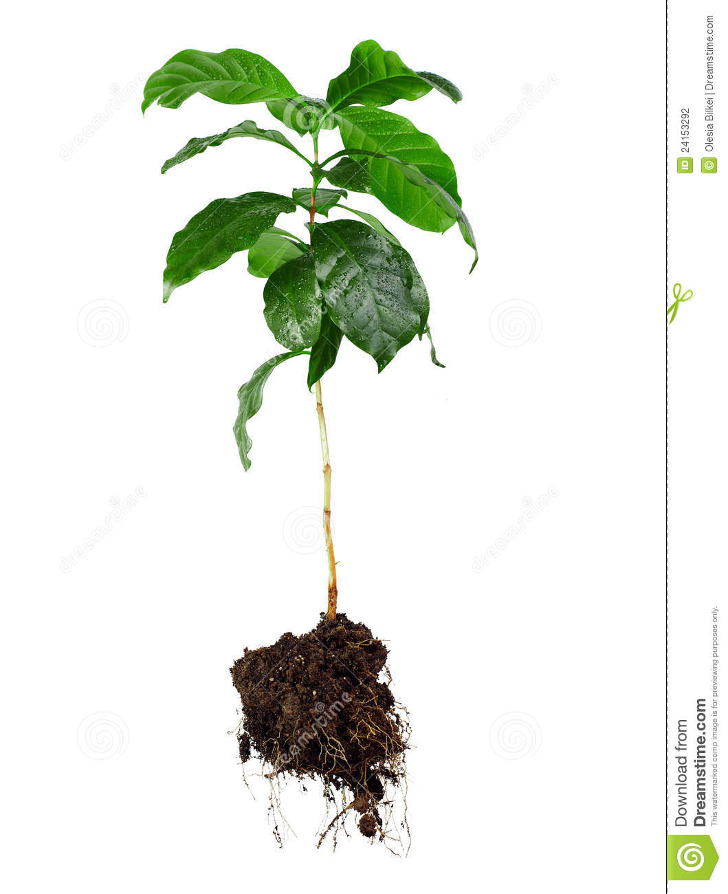 Whole coffee arabica plant with leaves, stem and roots isolated on ...
