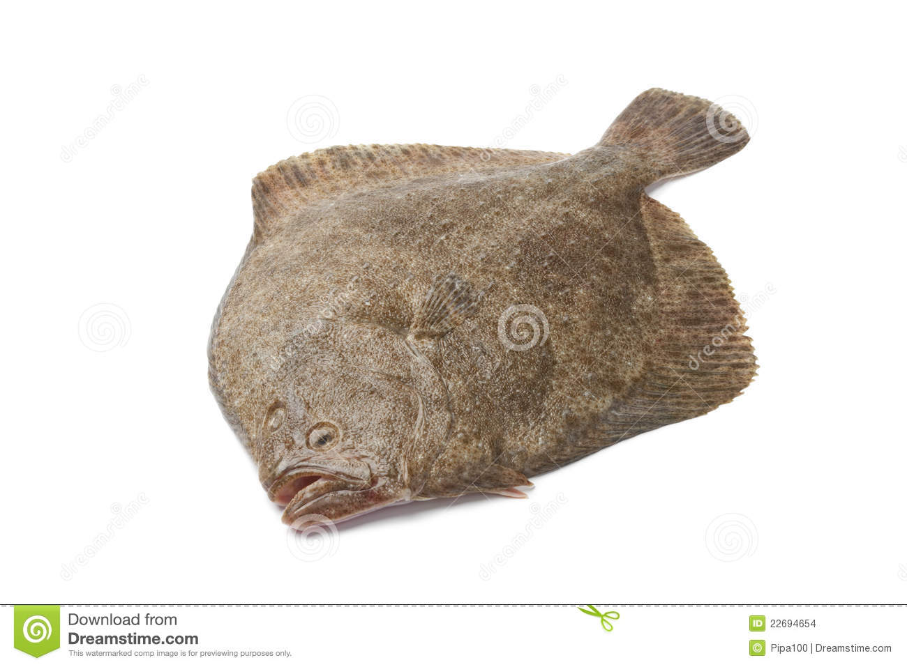 whole single fresh turbot fish stock images image 22694654