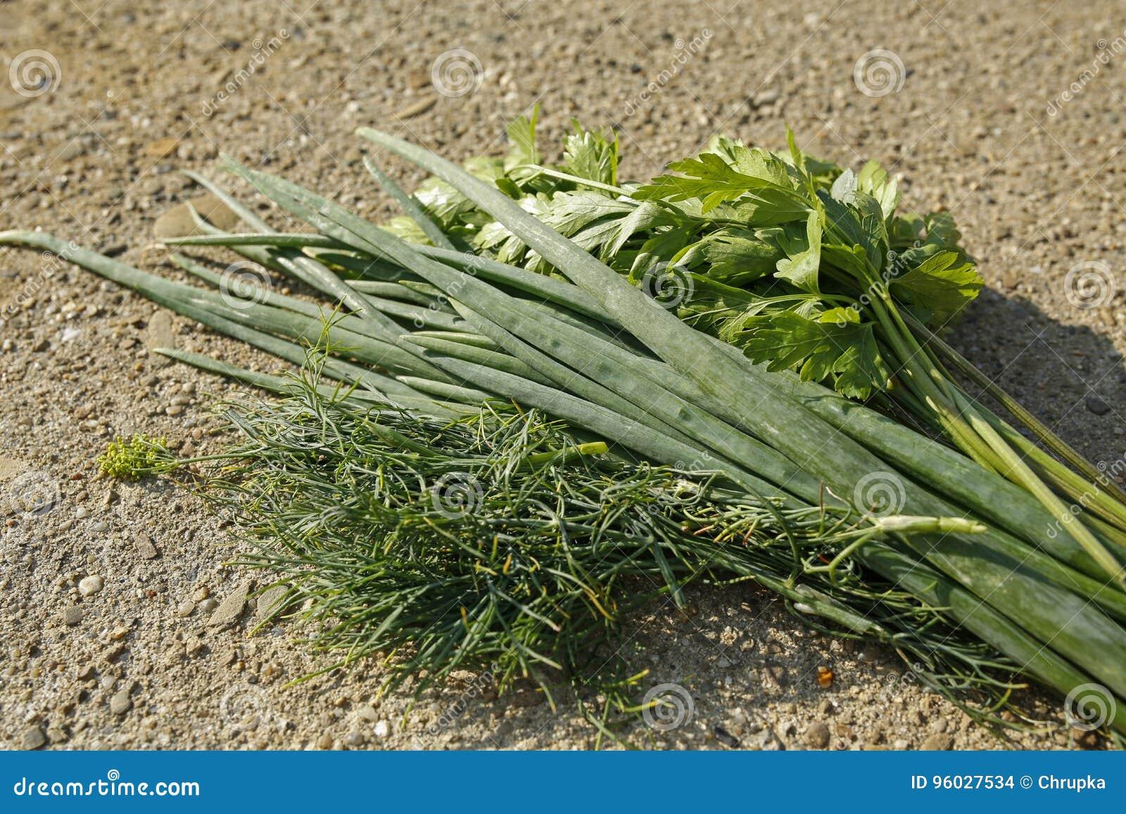 Wiązka świezi ziele pietruszka, szczypiorek i koper,