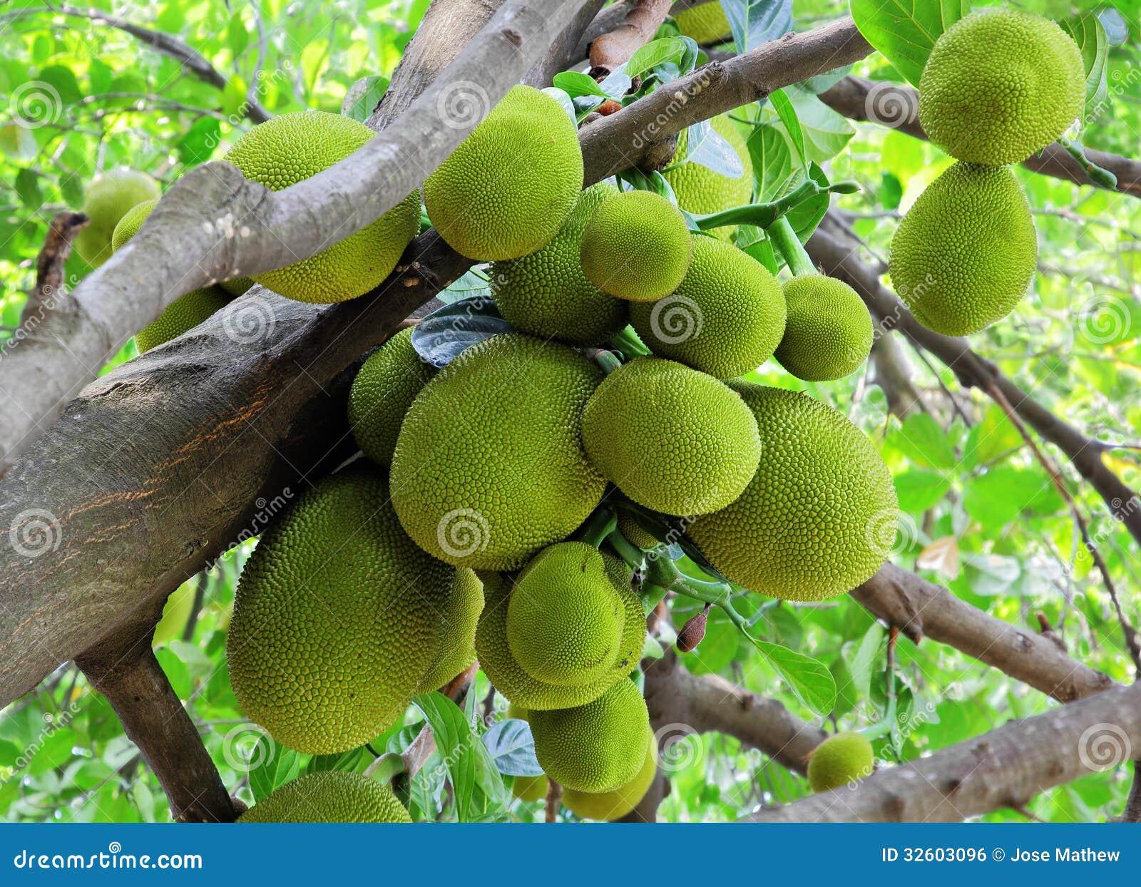 Wiązka Jack owoc