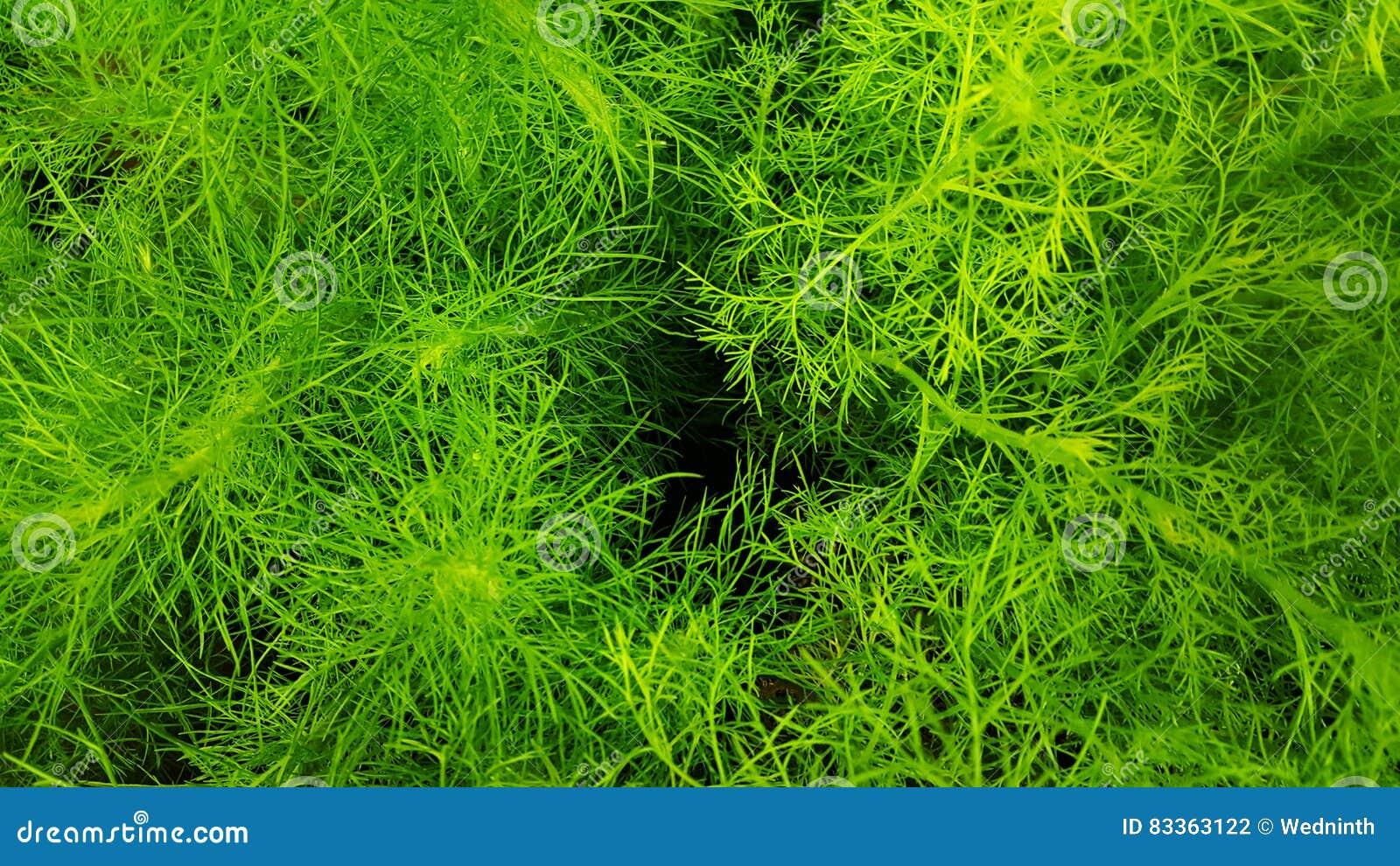 Wiązka koperu świeżej zieleni tła abstrakcjonistyczna fotografia